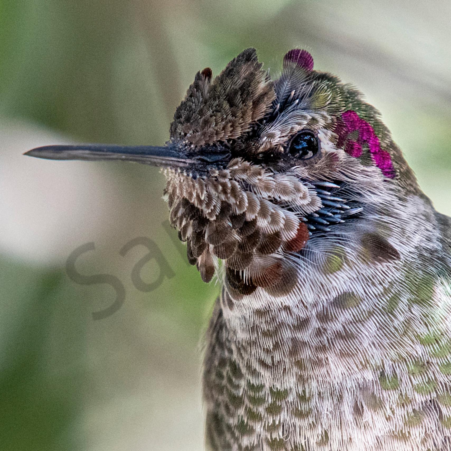 Hum bird beautiful closeup copy p1hlfm