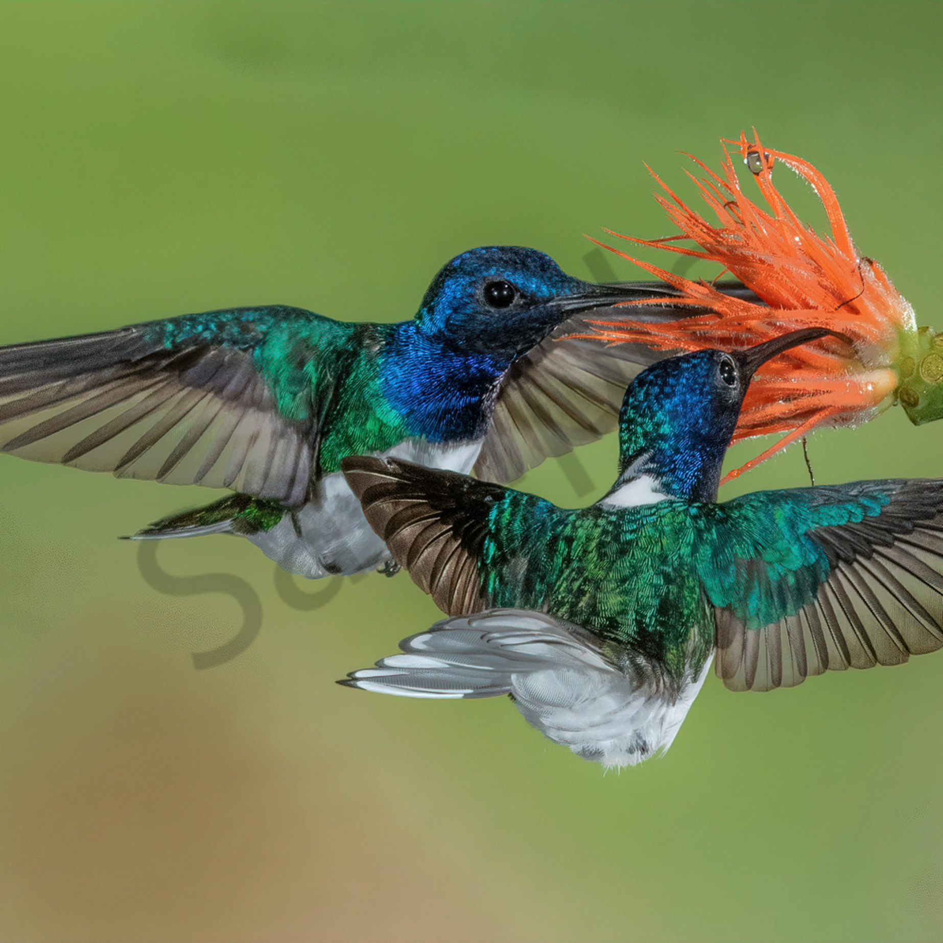 White necked jacobins ybmfbq