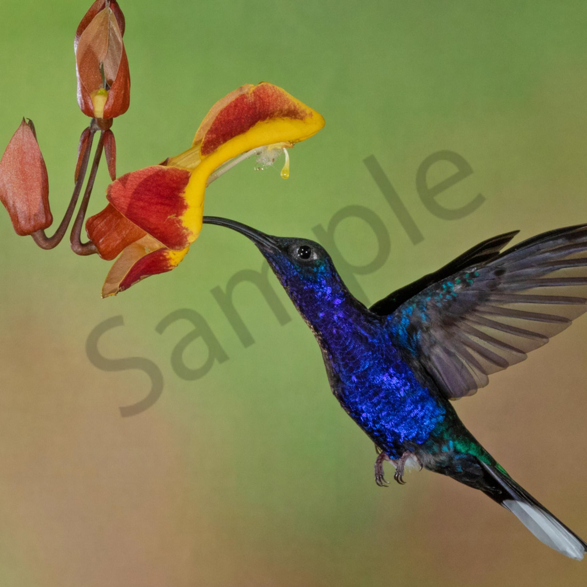 Violet saberwing 1 jv7vdb