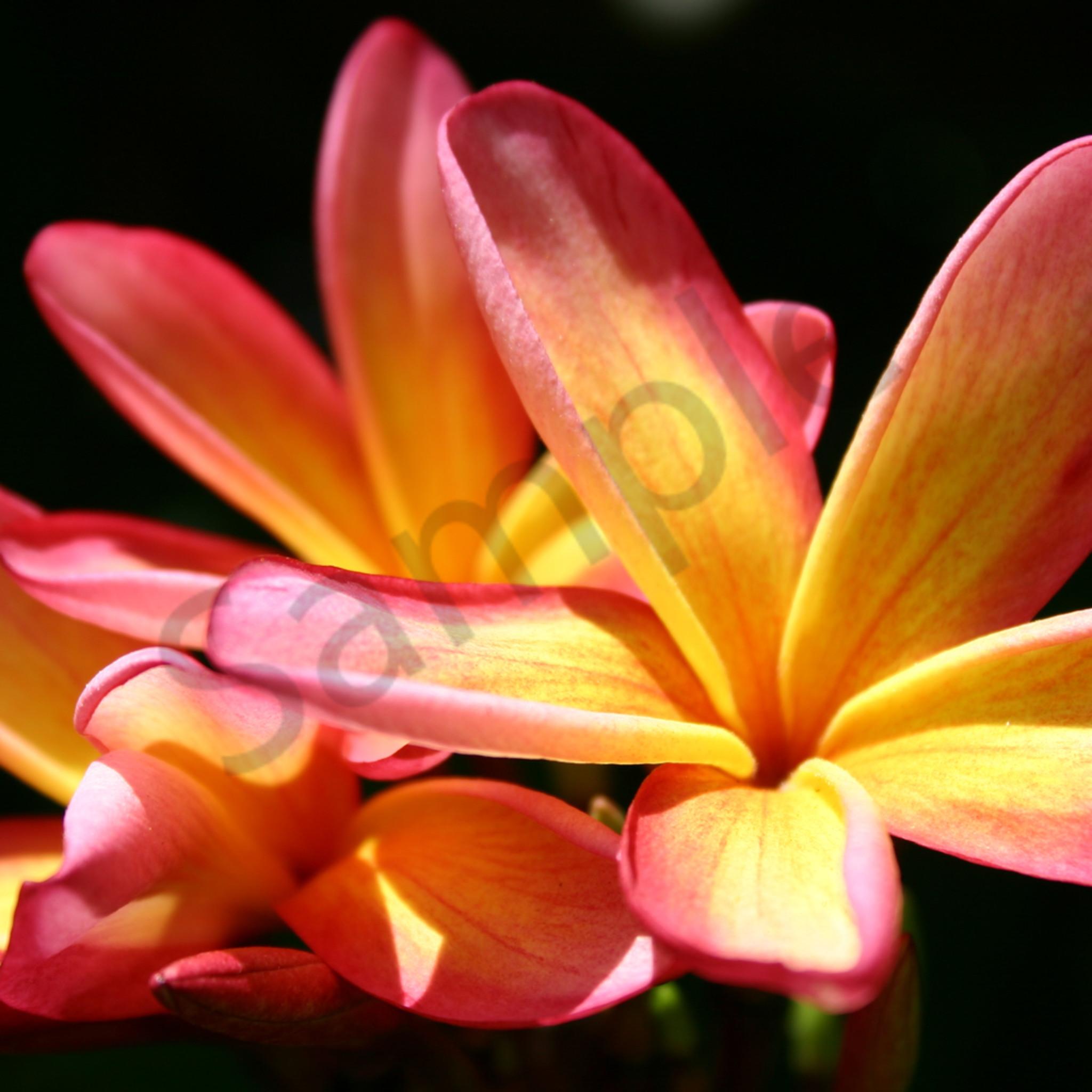 Sunlit plumerias ww013 nmapgc
