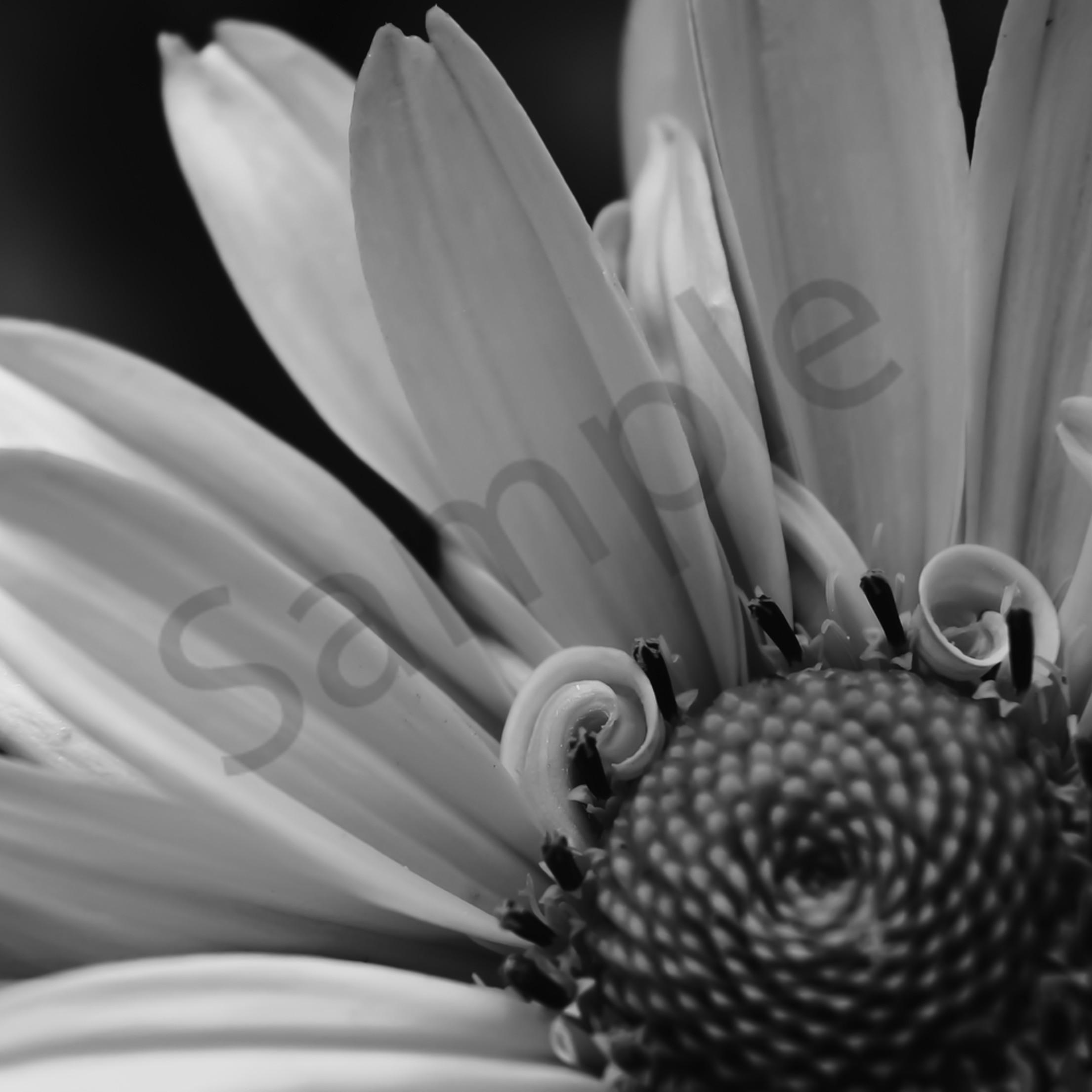 Petal curls in a daisy tvbffr