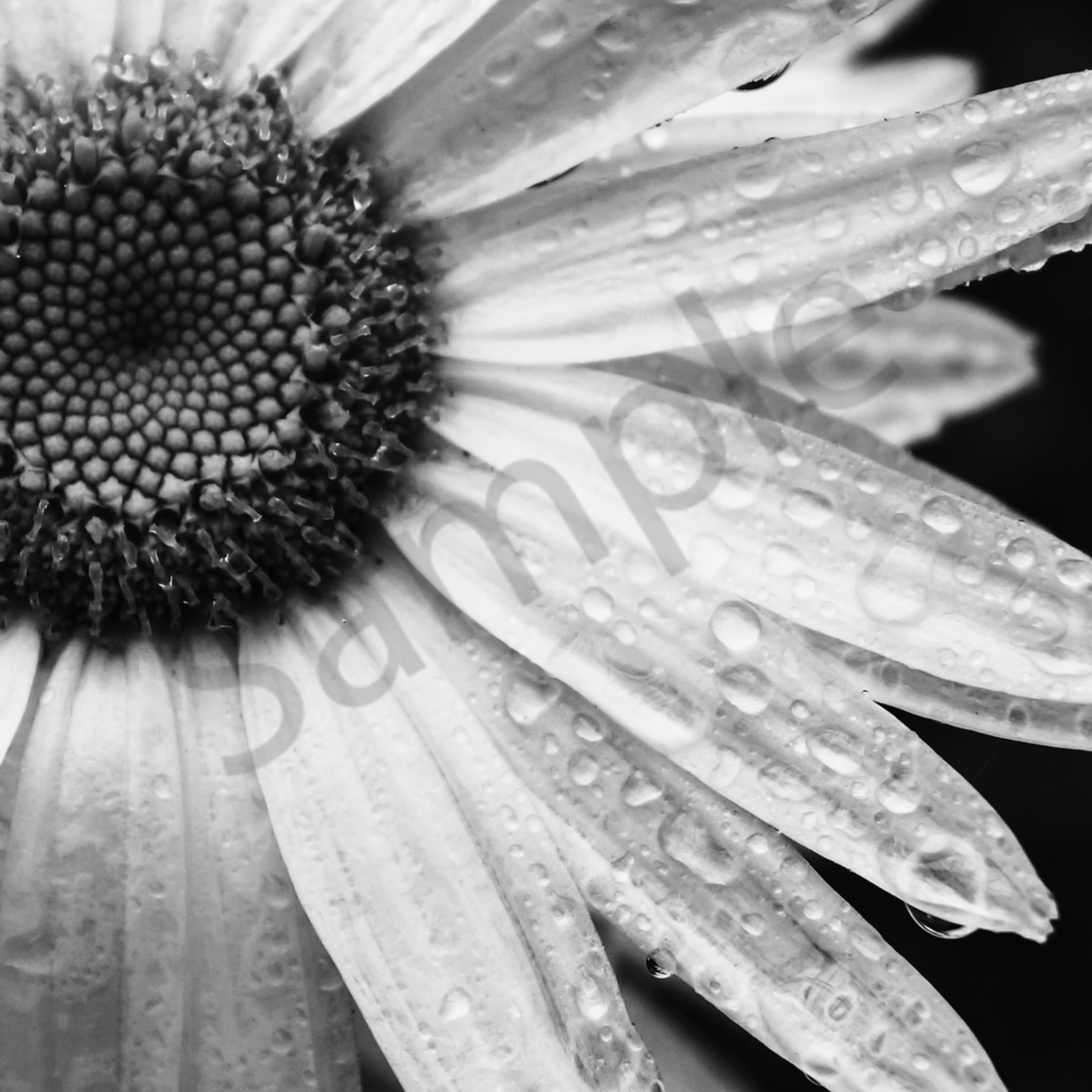 Rain drops on a daisy i8f4eb