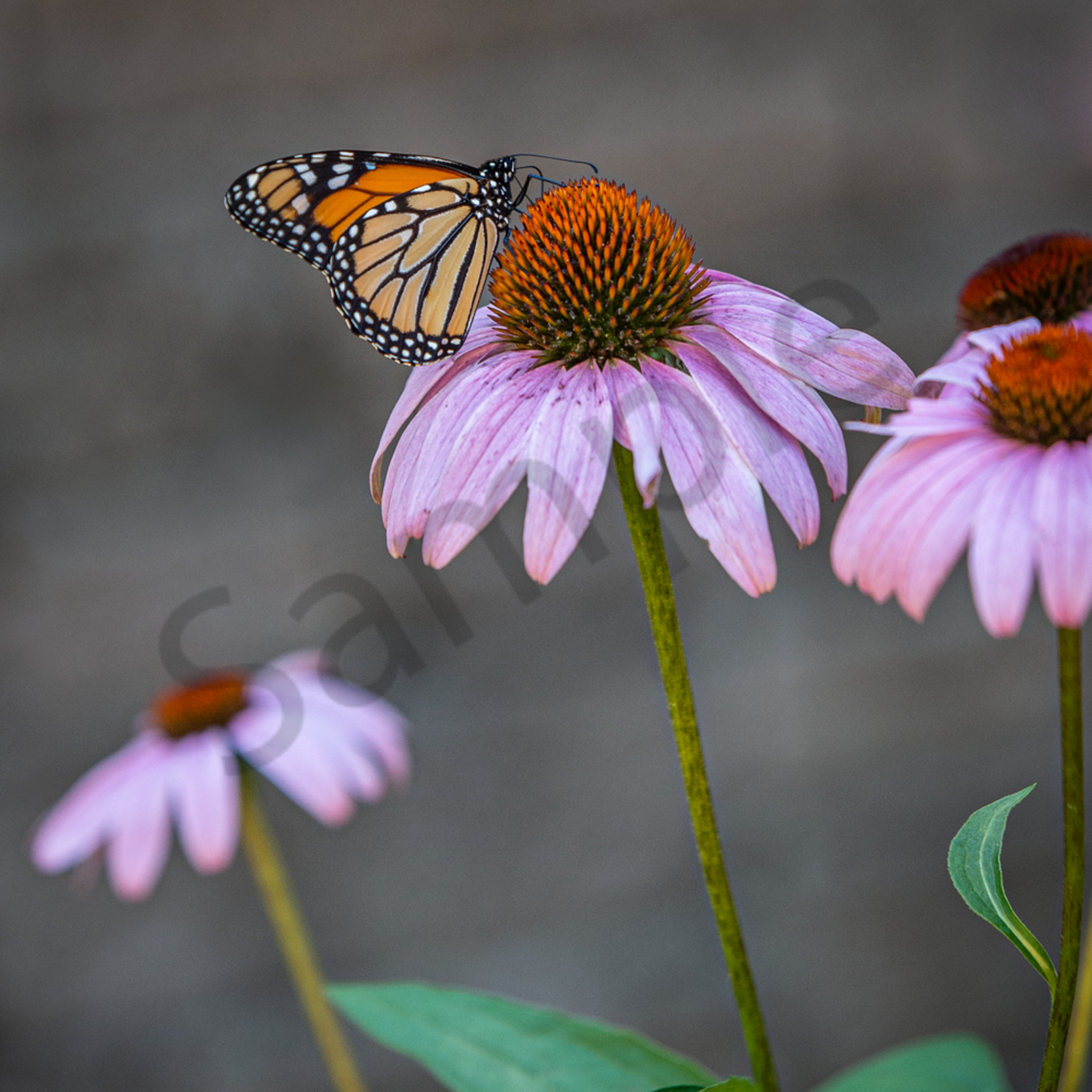 Monarch bcpamc