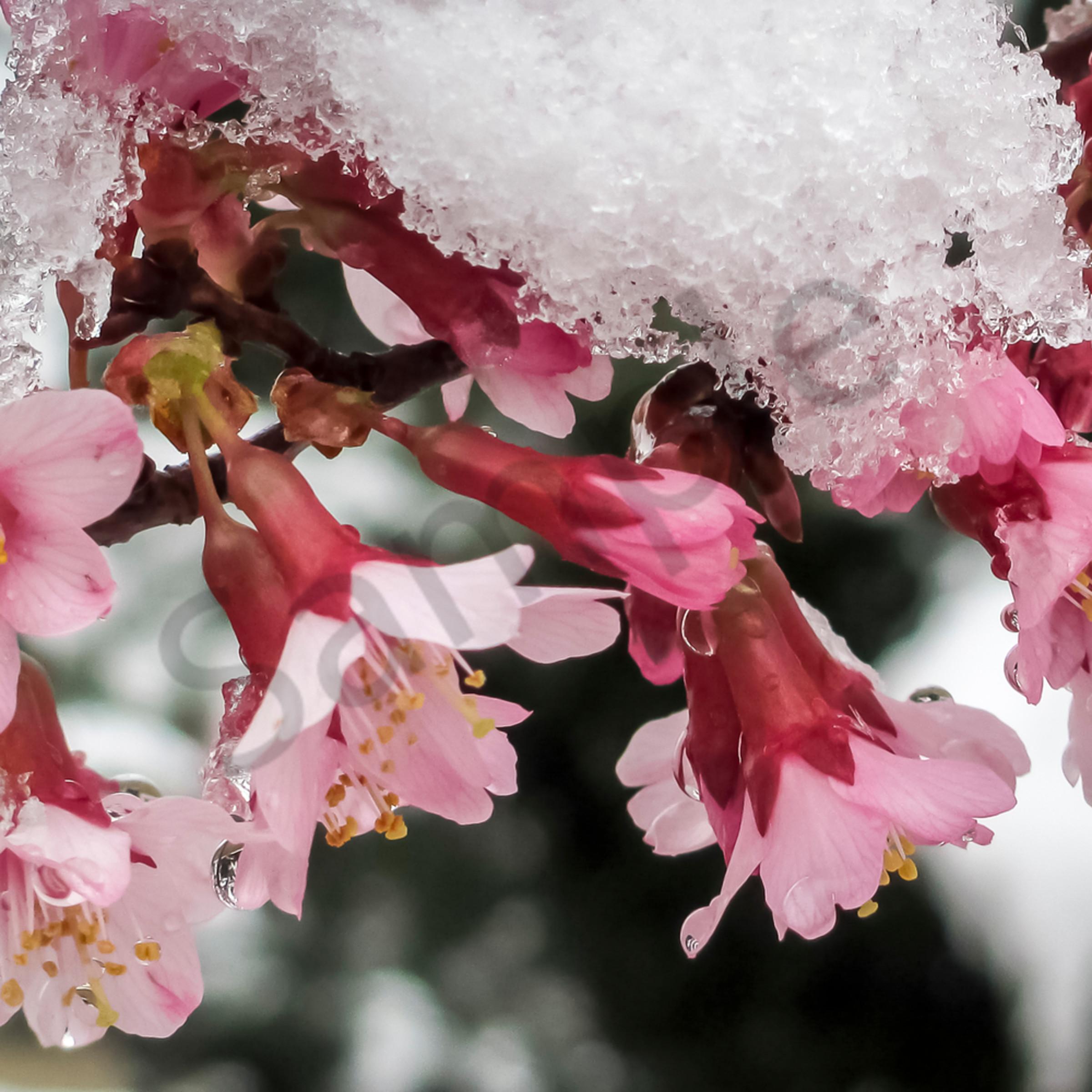Okame cherry in snow c ezuusj