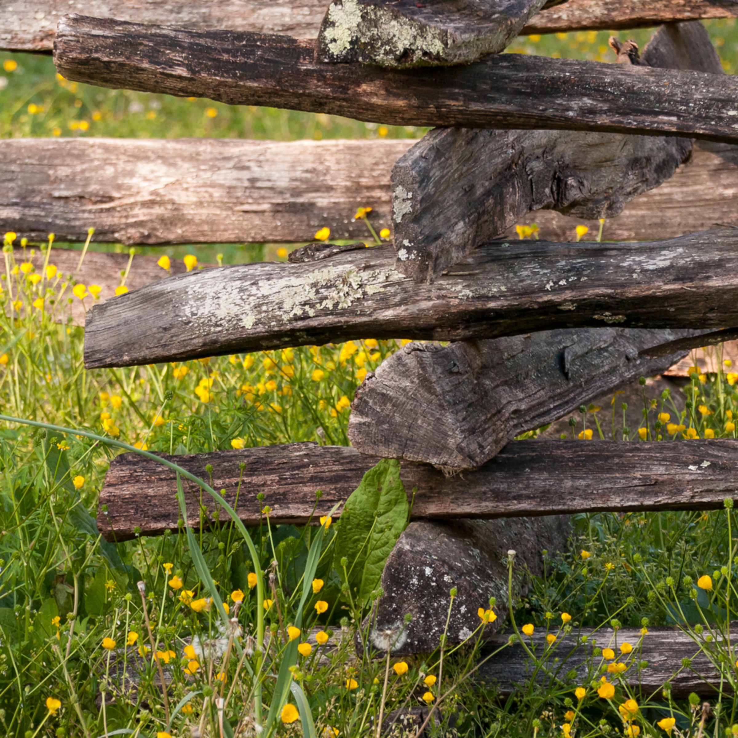 Colonial fence wildflowers z1uvow