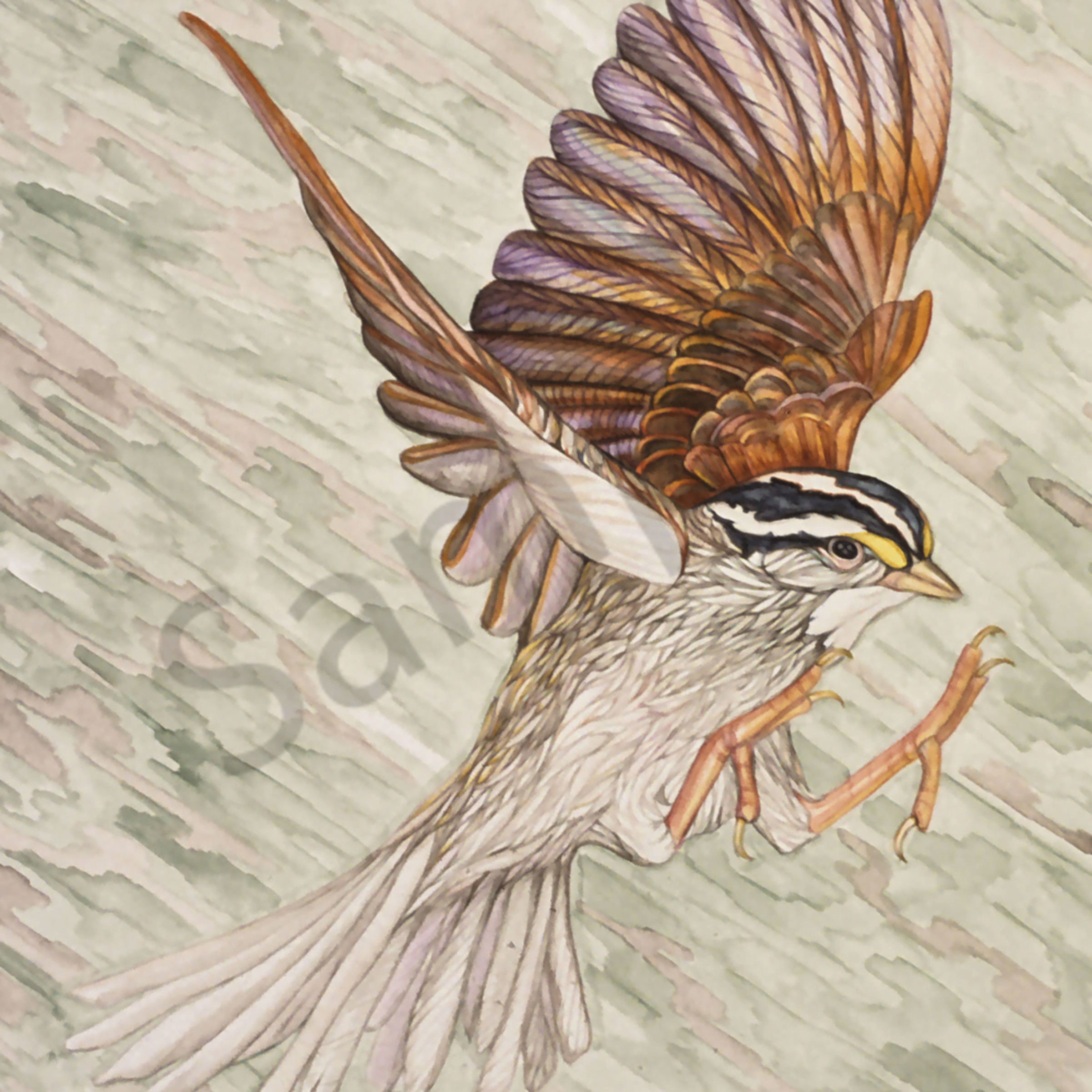 White crowned sparrow 8x10 qxpa00