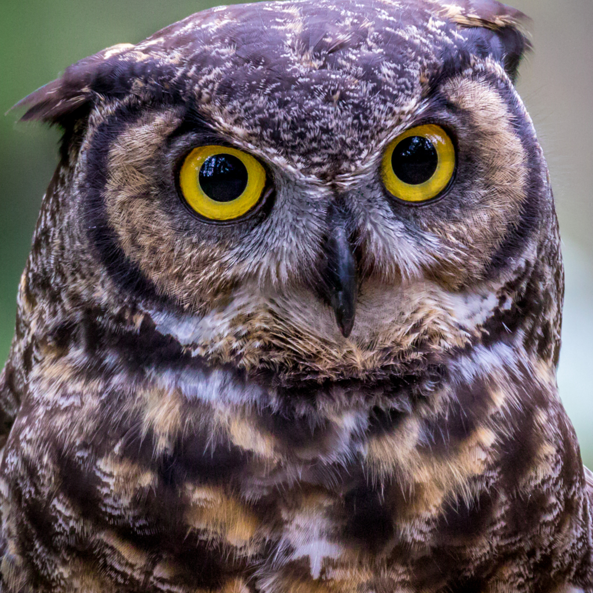 Asf horned owl 9963 cdtzfa