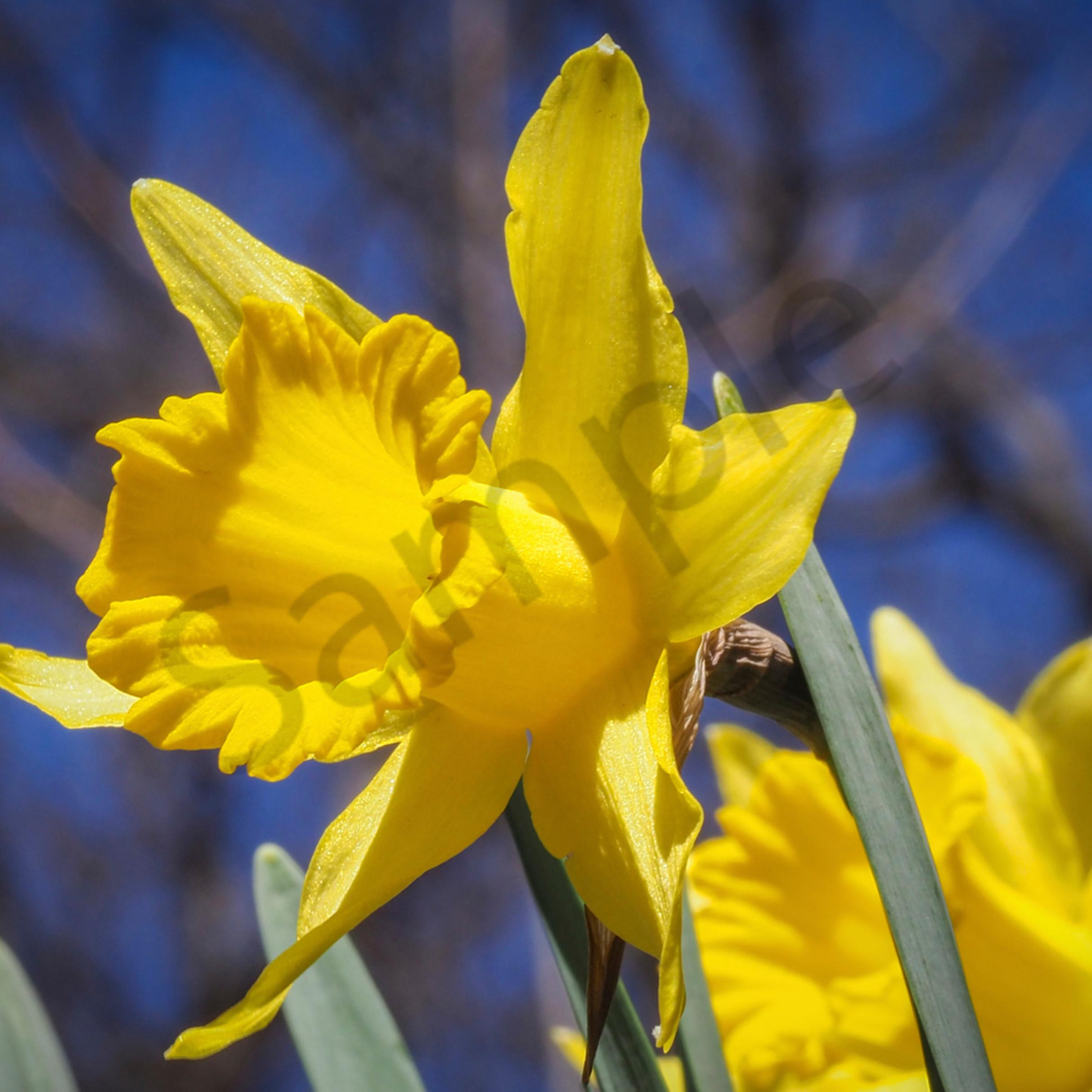 Yellow blossom 1 of 1 blylok