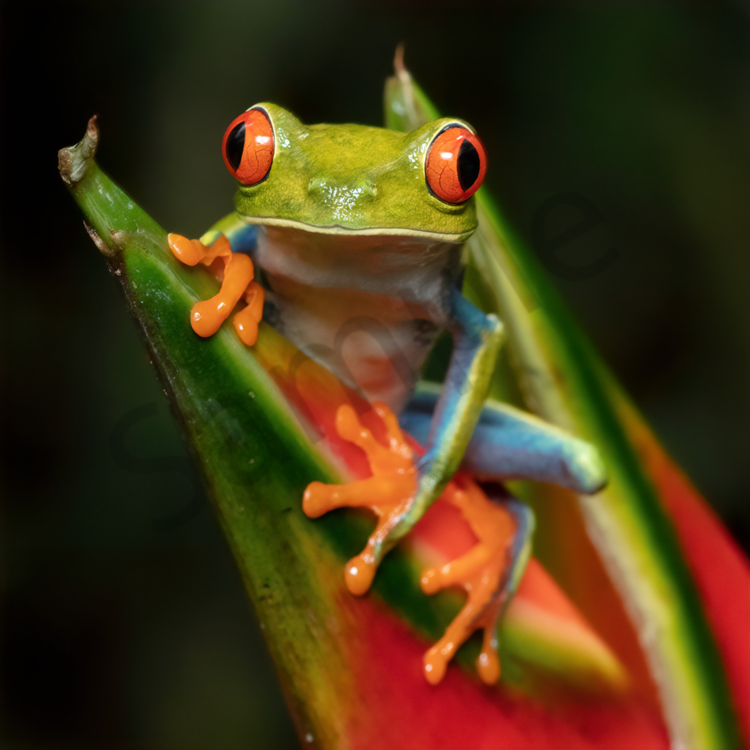 Red eyed tree frog 5 yxlsse