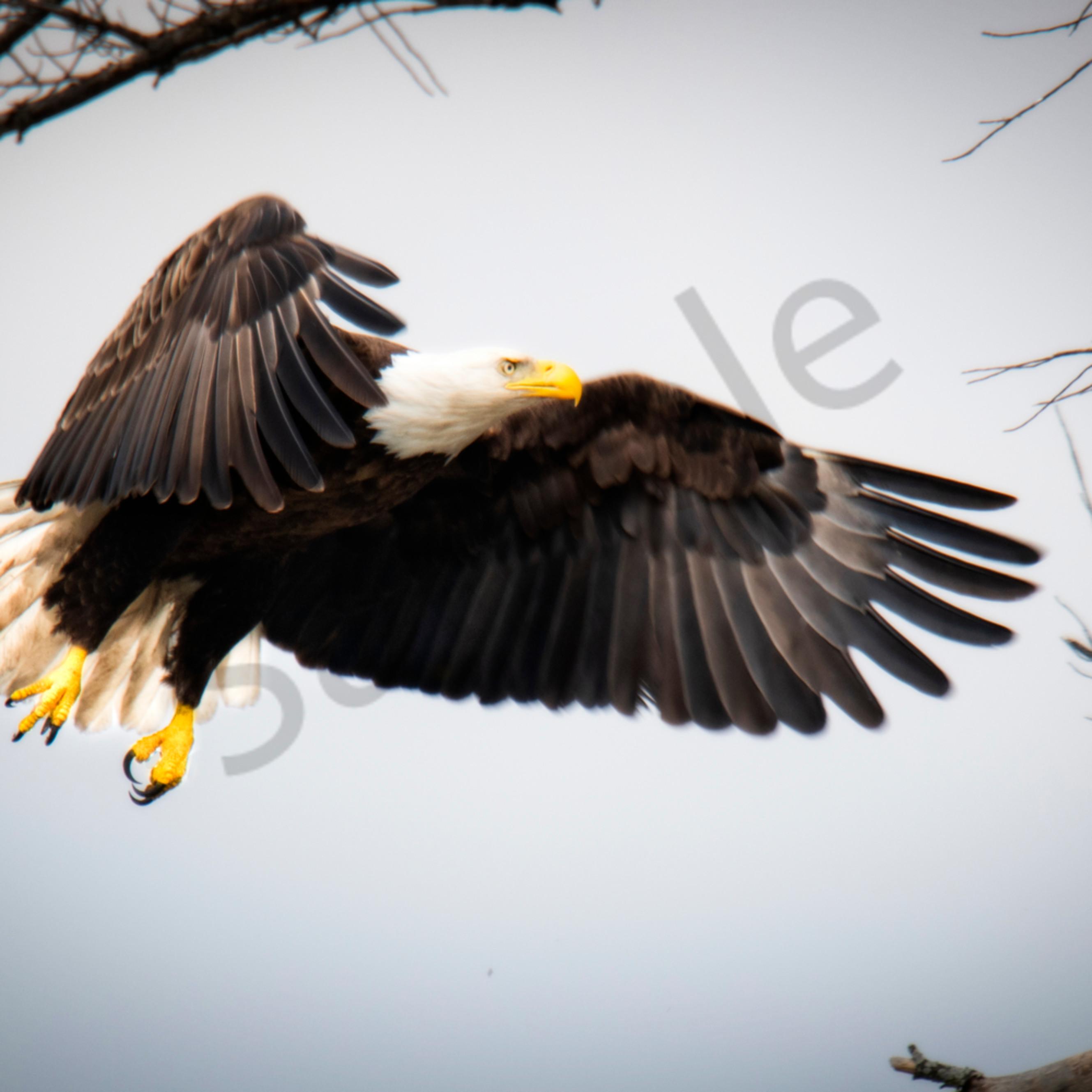 Beautiful eagle copy h7v9um