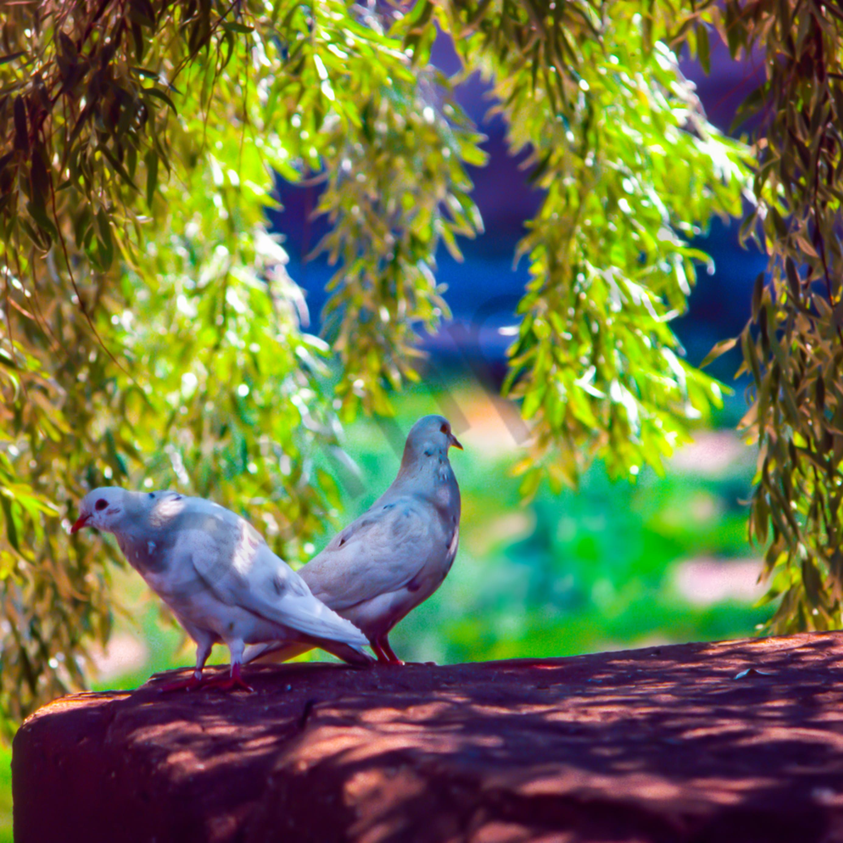 Doves willow jyrhlp