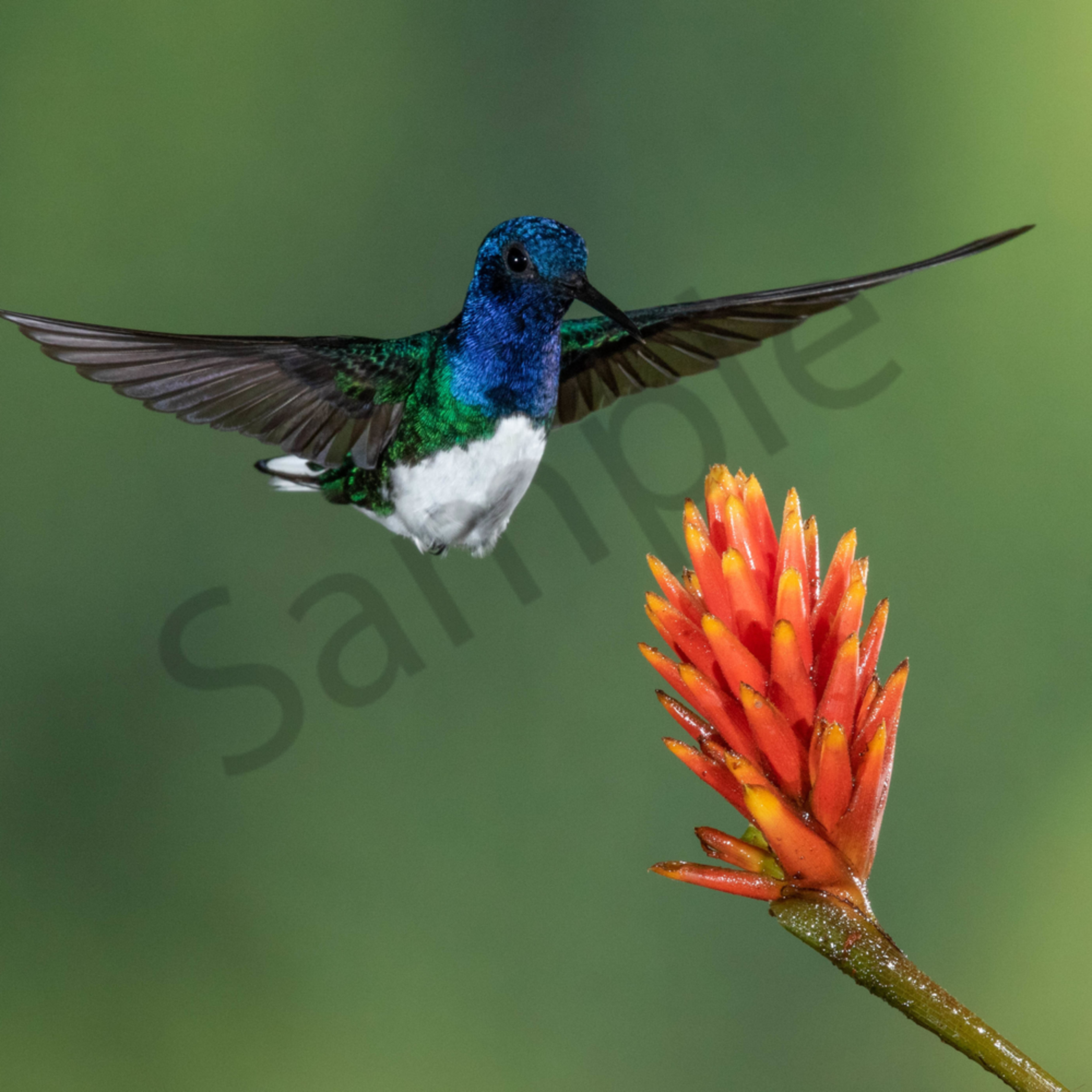 White necked jacobin zzwh22