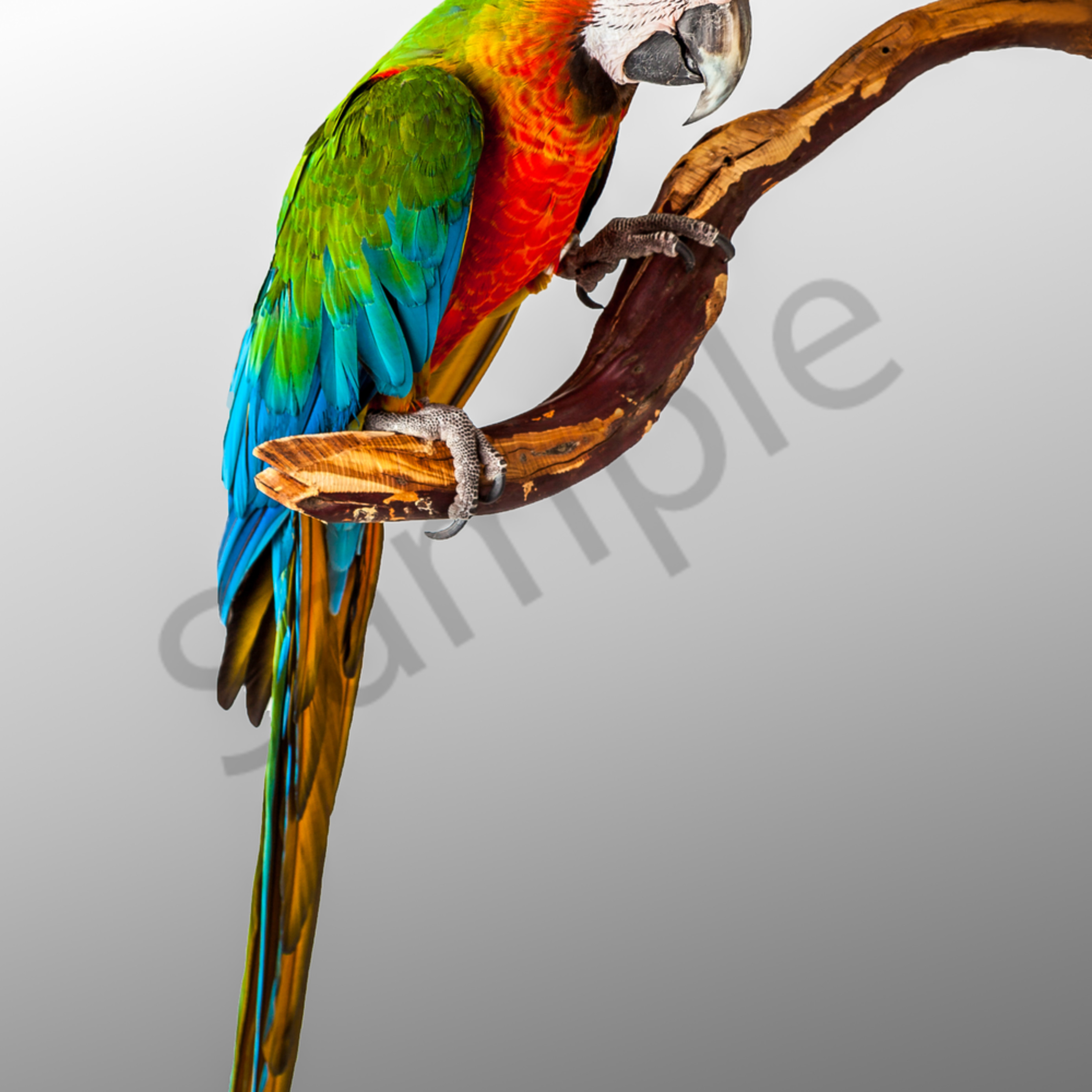 Asf parrots 0007  ugddmo