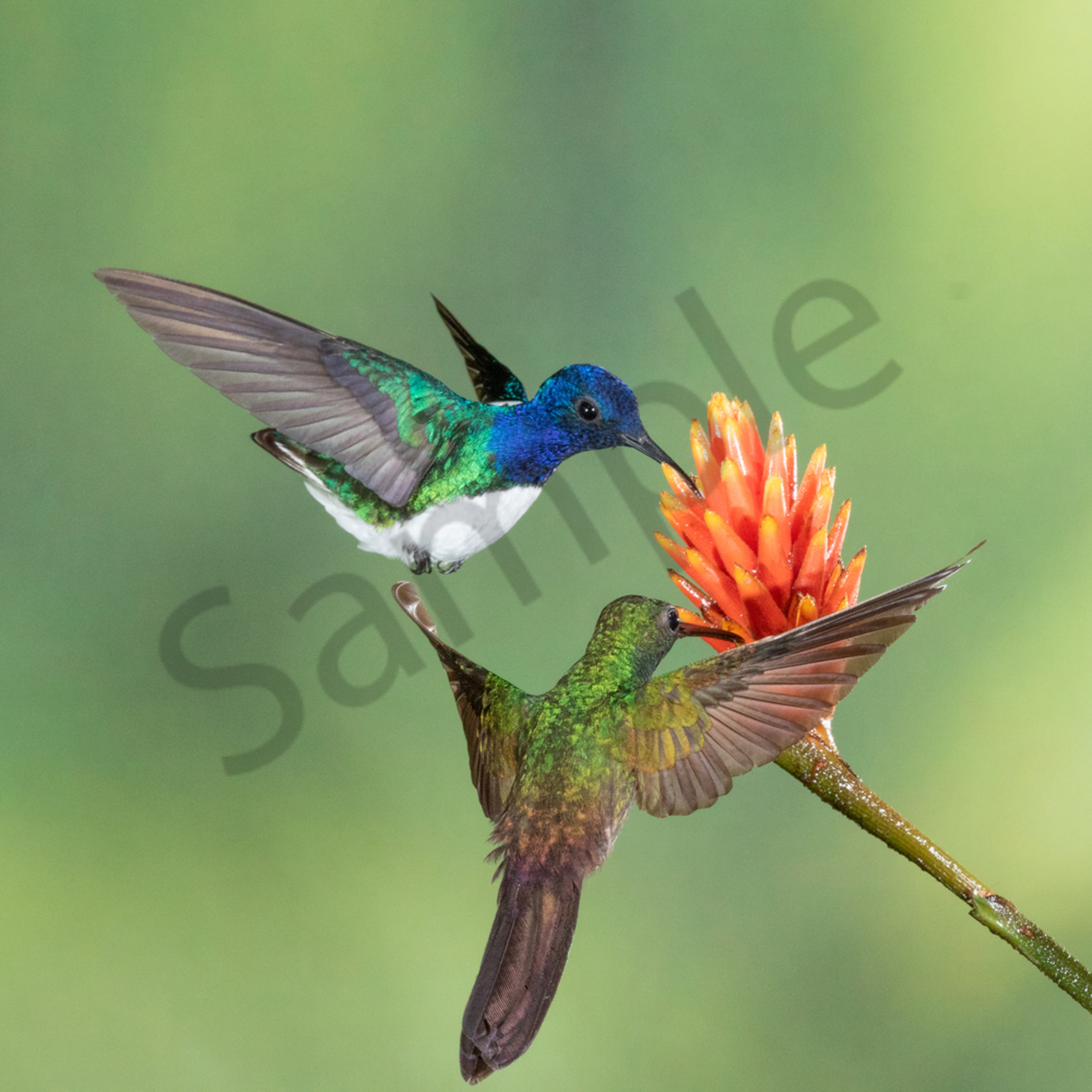 White necked jacobin and vyuoxc