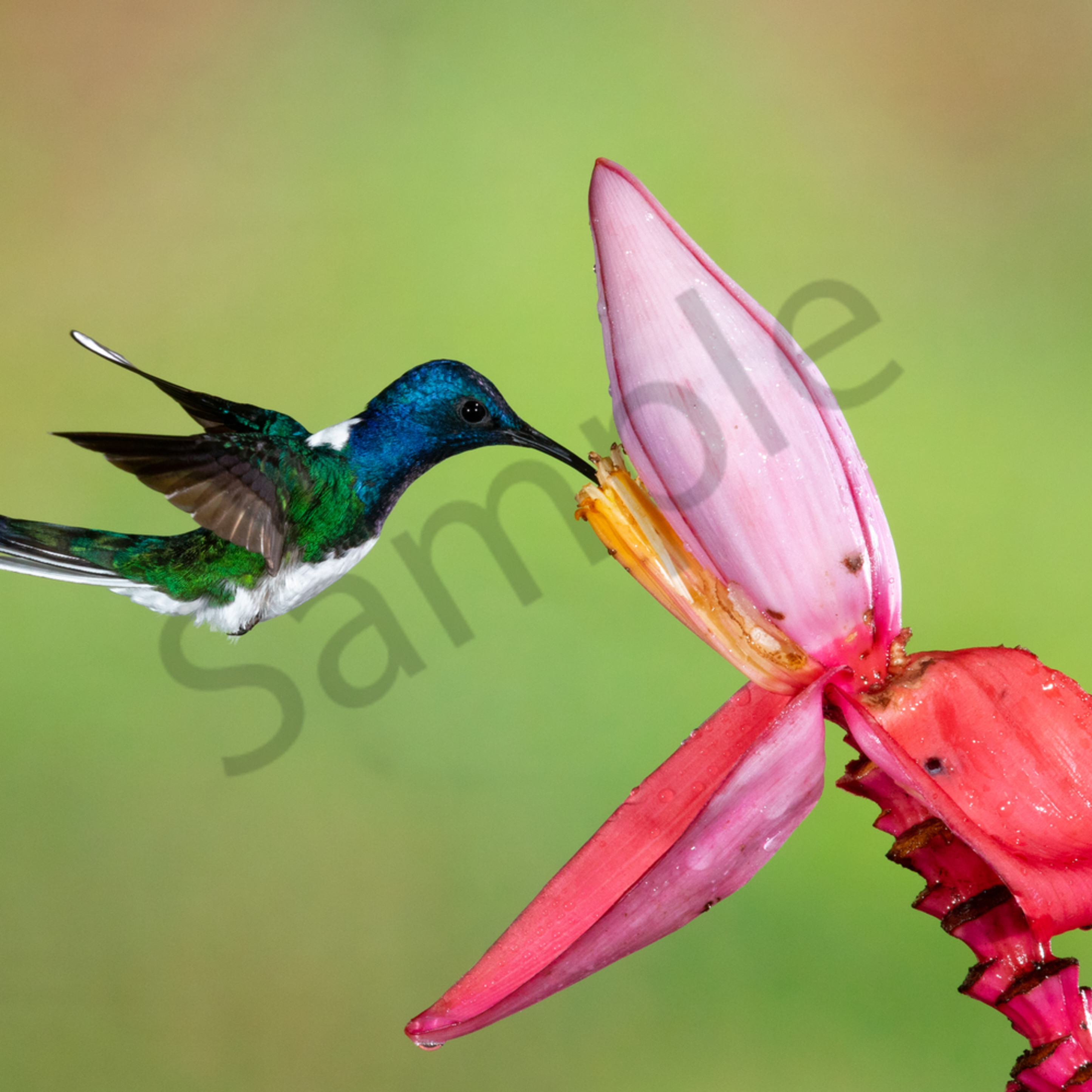 White necked jacobin on bannana np6hwe