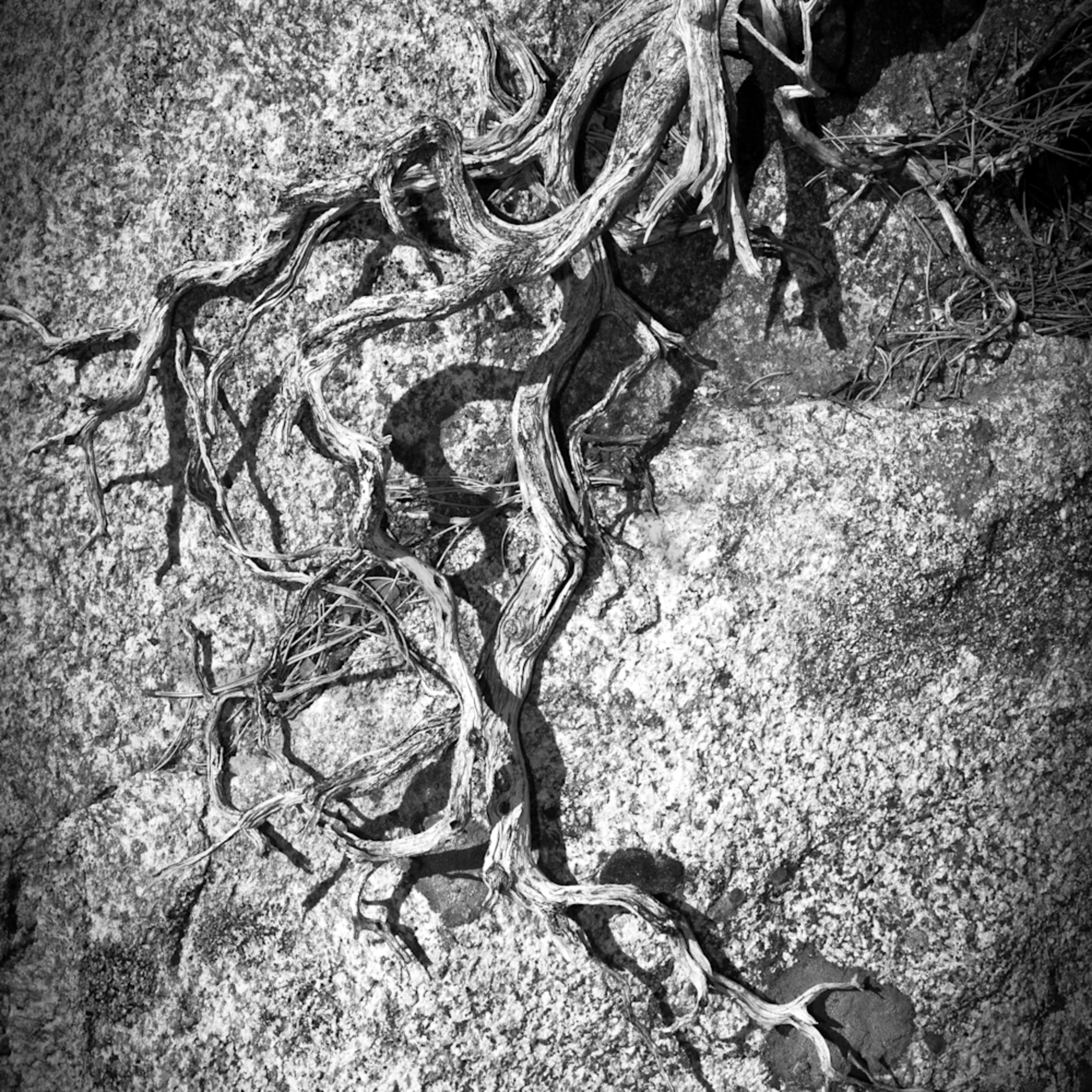 Gnarled root tree root clinging to rock black and white photo vertical artistic nature drift wood sculpture wcrczu