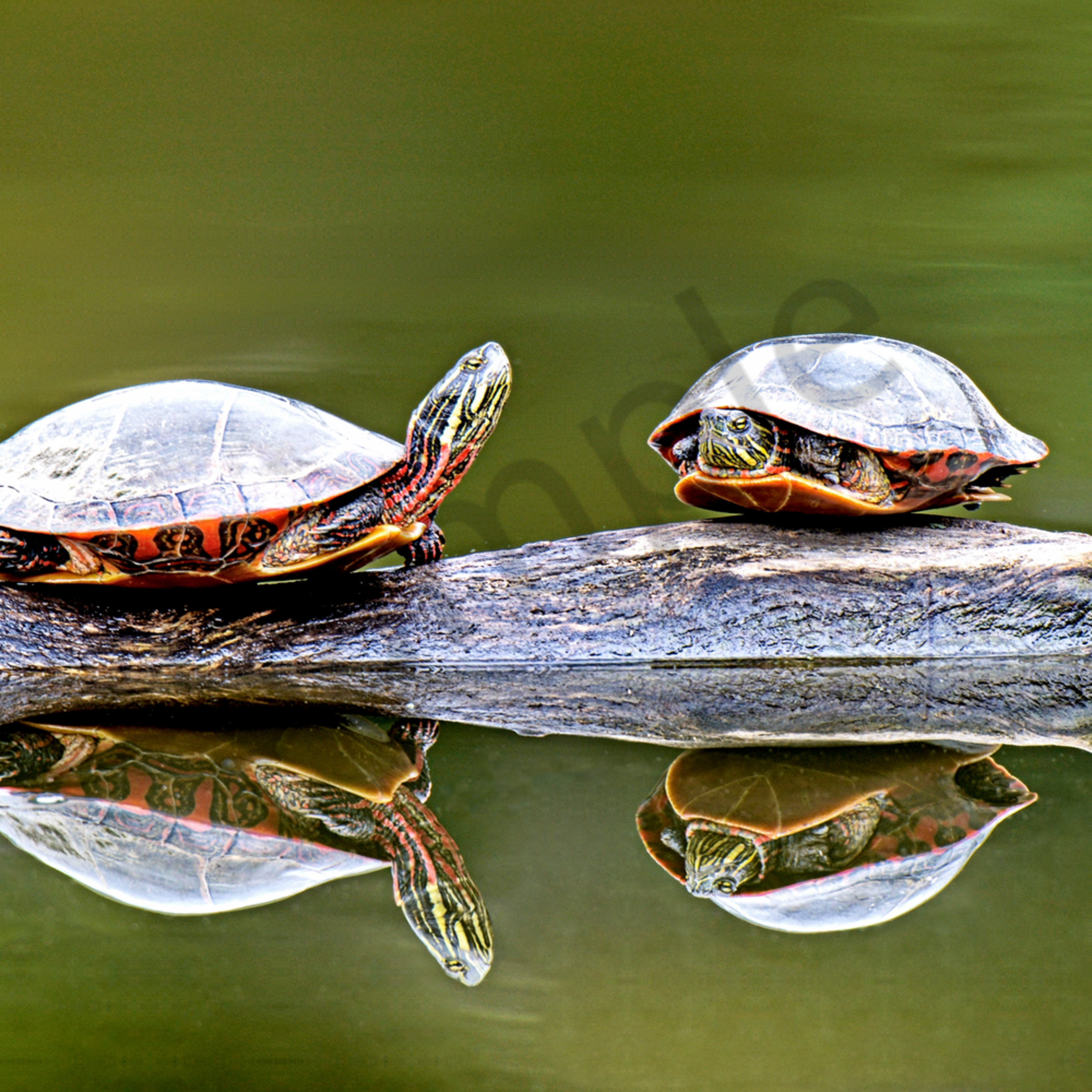 Two turtles 1 of 1 cvkgfo