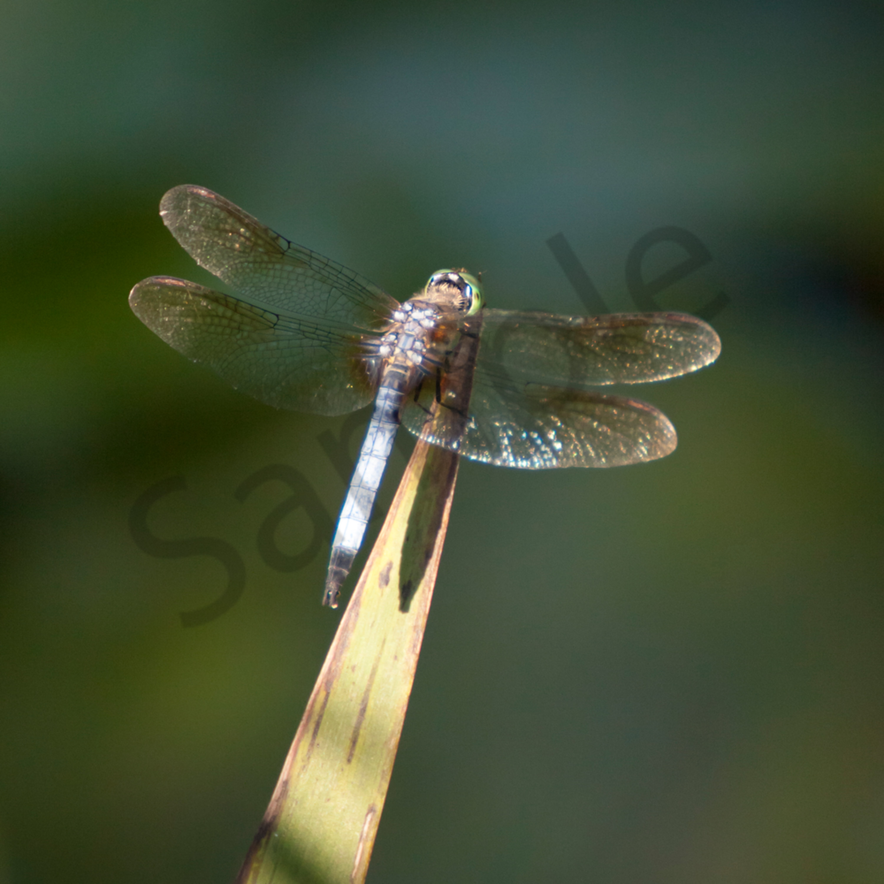 Dragonfly   xpy0np