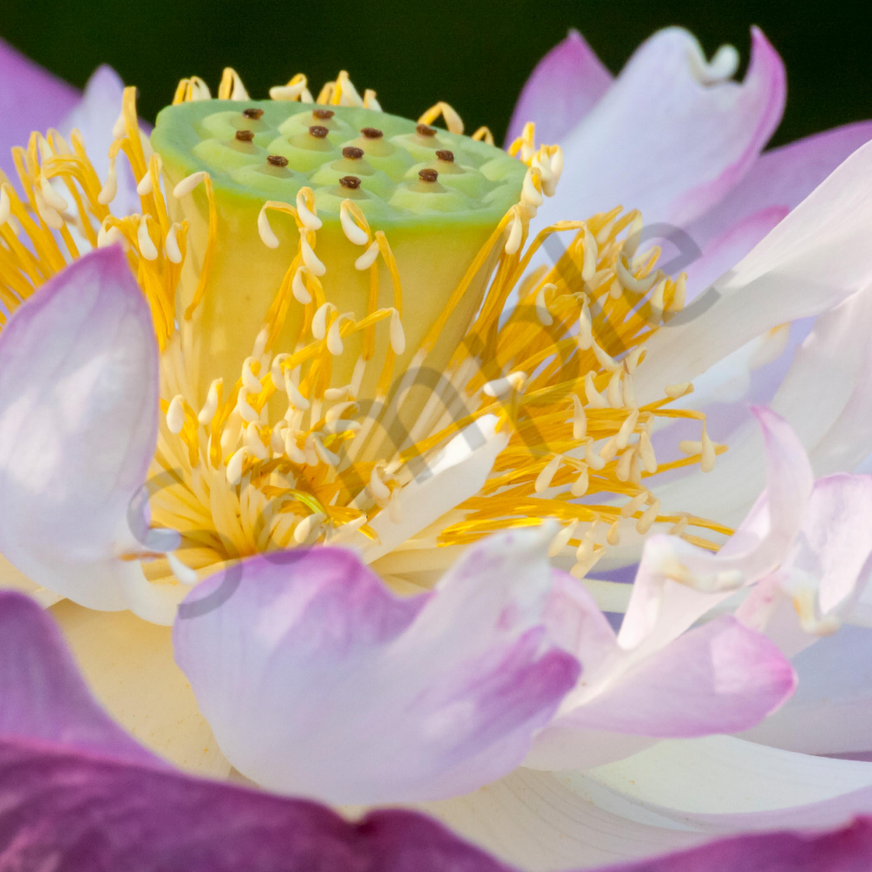 Ballet of the lotus c p6pqoj