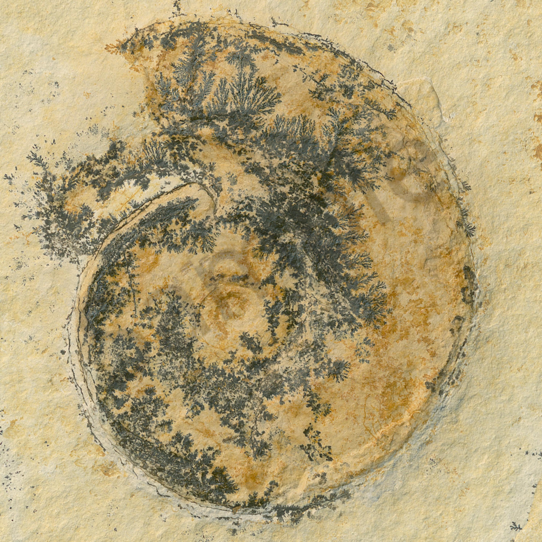 German ammonite yefywy