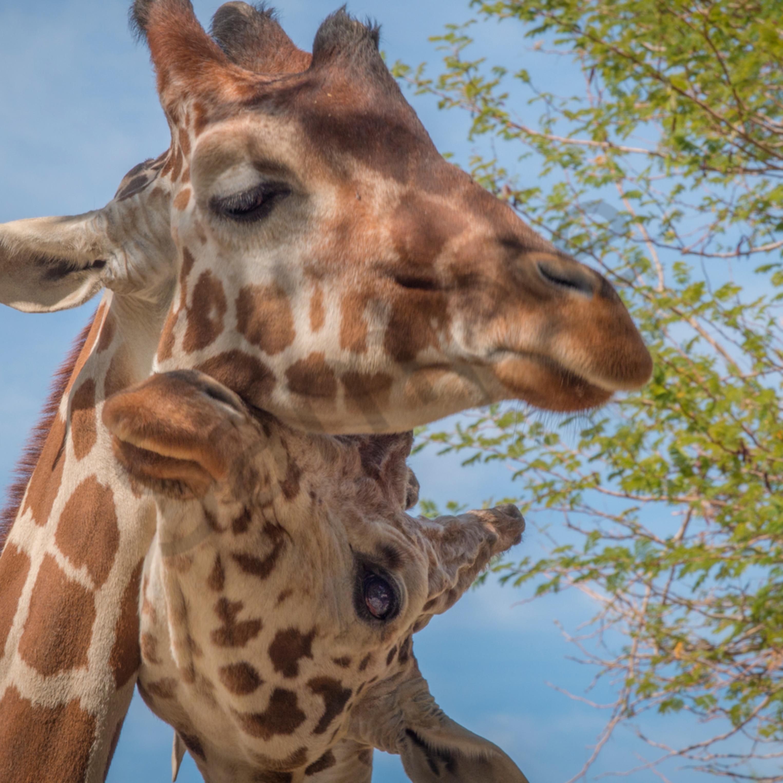 Giraffe cuddle to print x81pfa