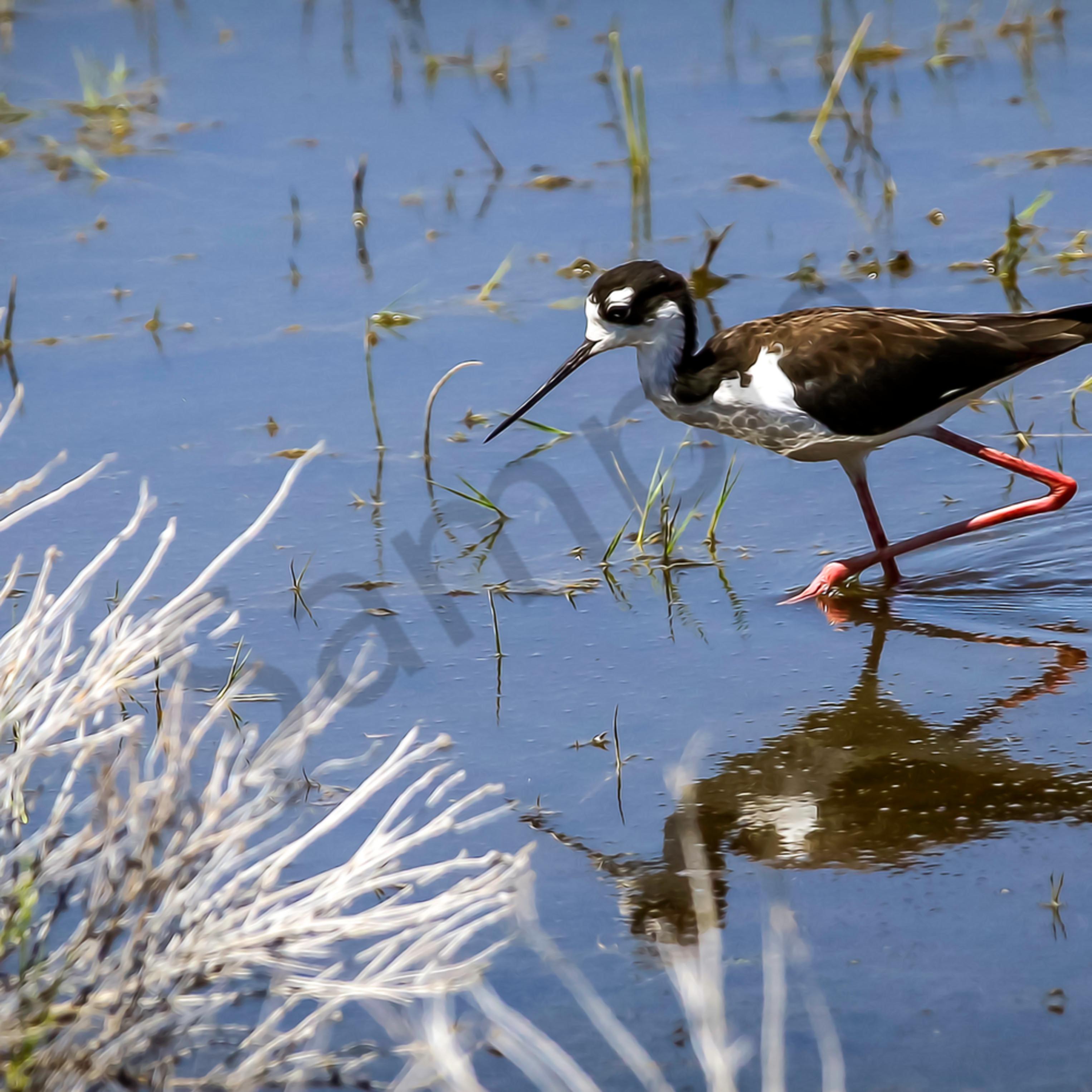 Black necked stilt lake washoe nv oil tlvyia