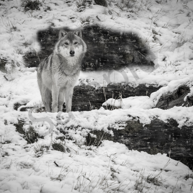 Blk wht wolf jqskm6