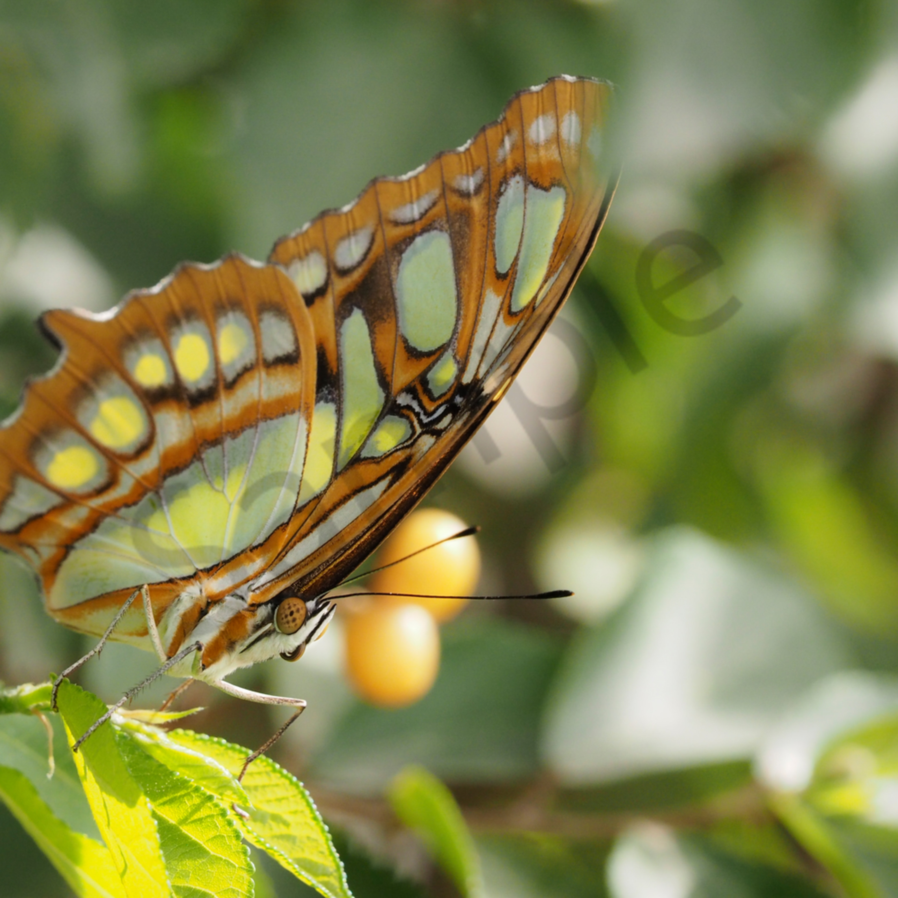 Green monarch to print 1 of 1 ndv2o8