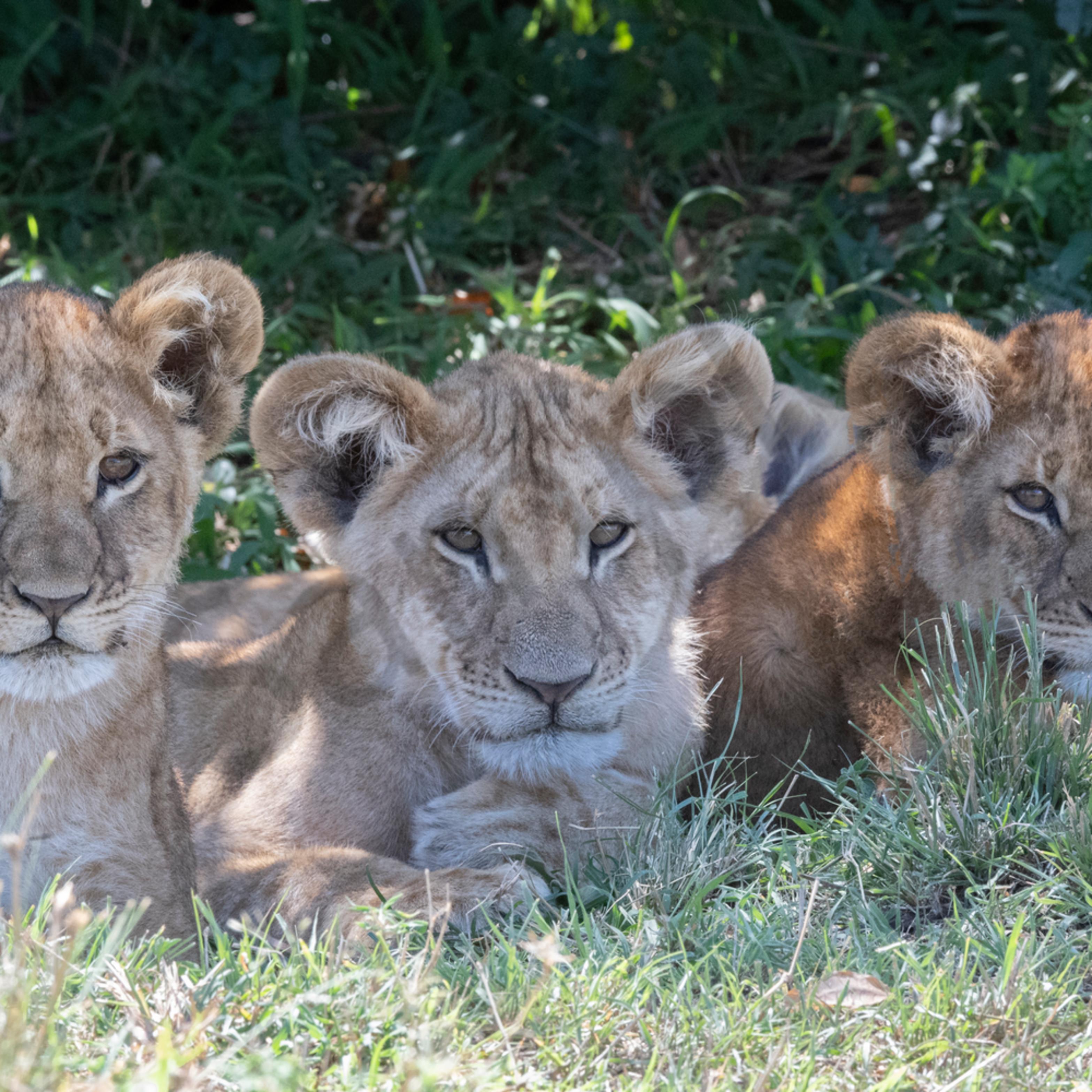 Jps lion cub trio o7opxn