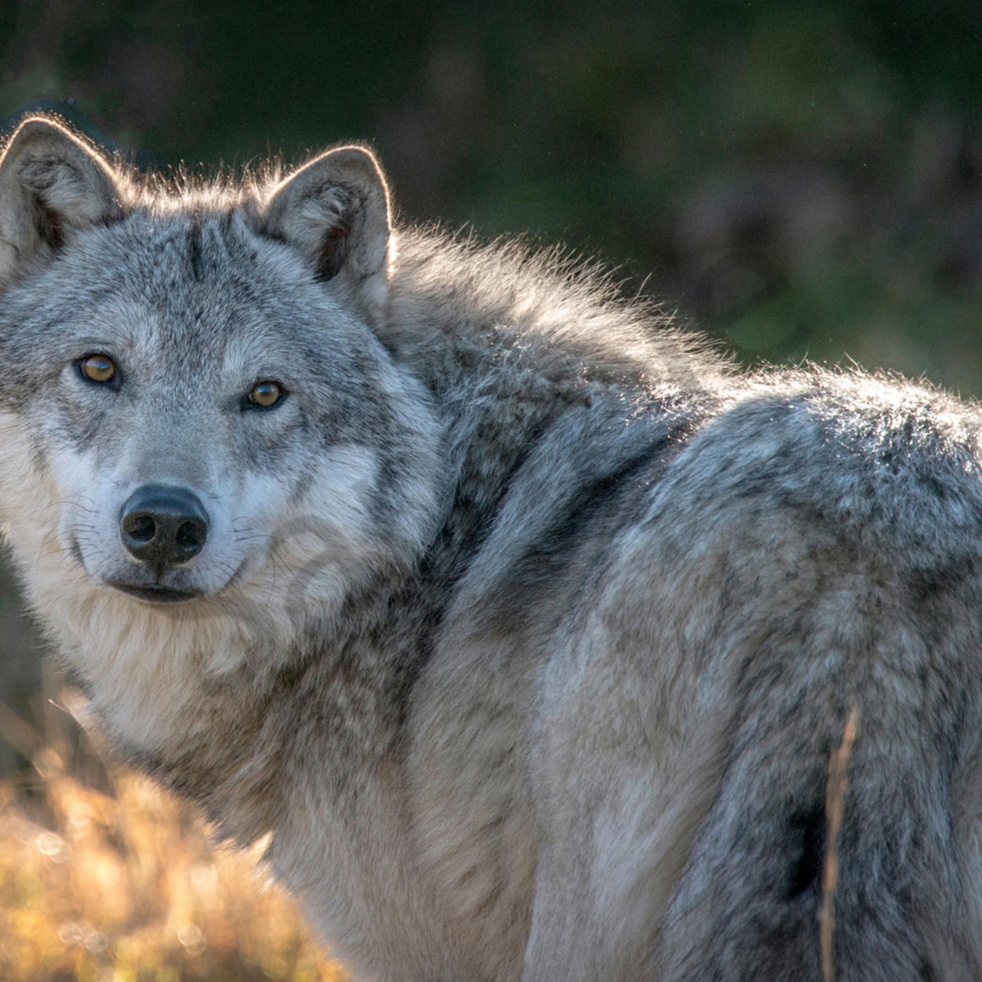 Alaskan wolf final to print simo8i