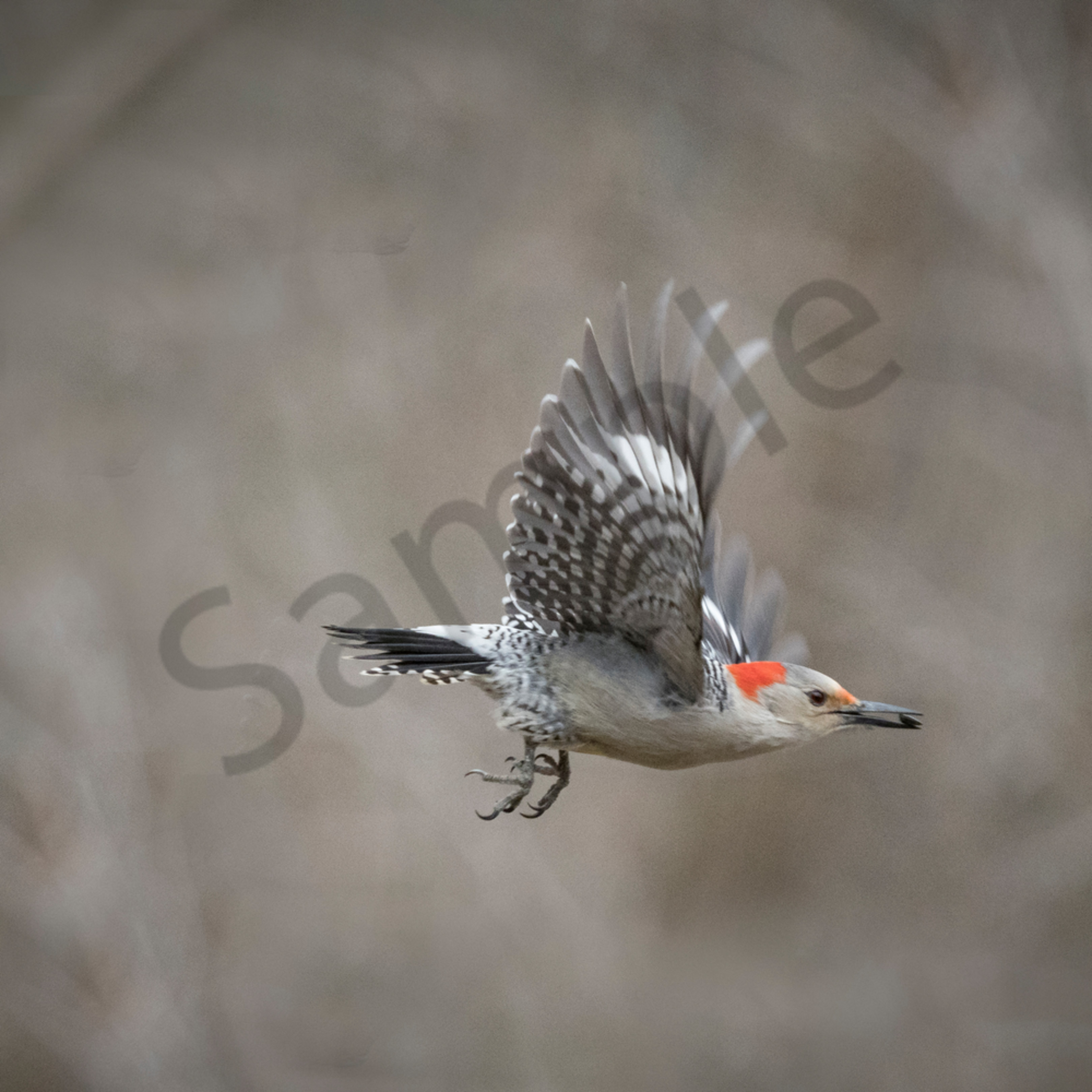 Red bellied woodpecker w final signature 1 of 1 cmkuzd