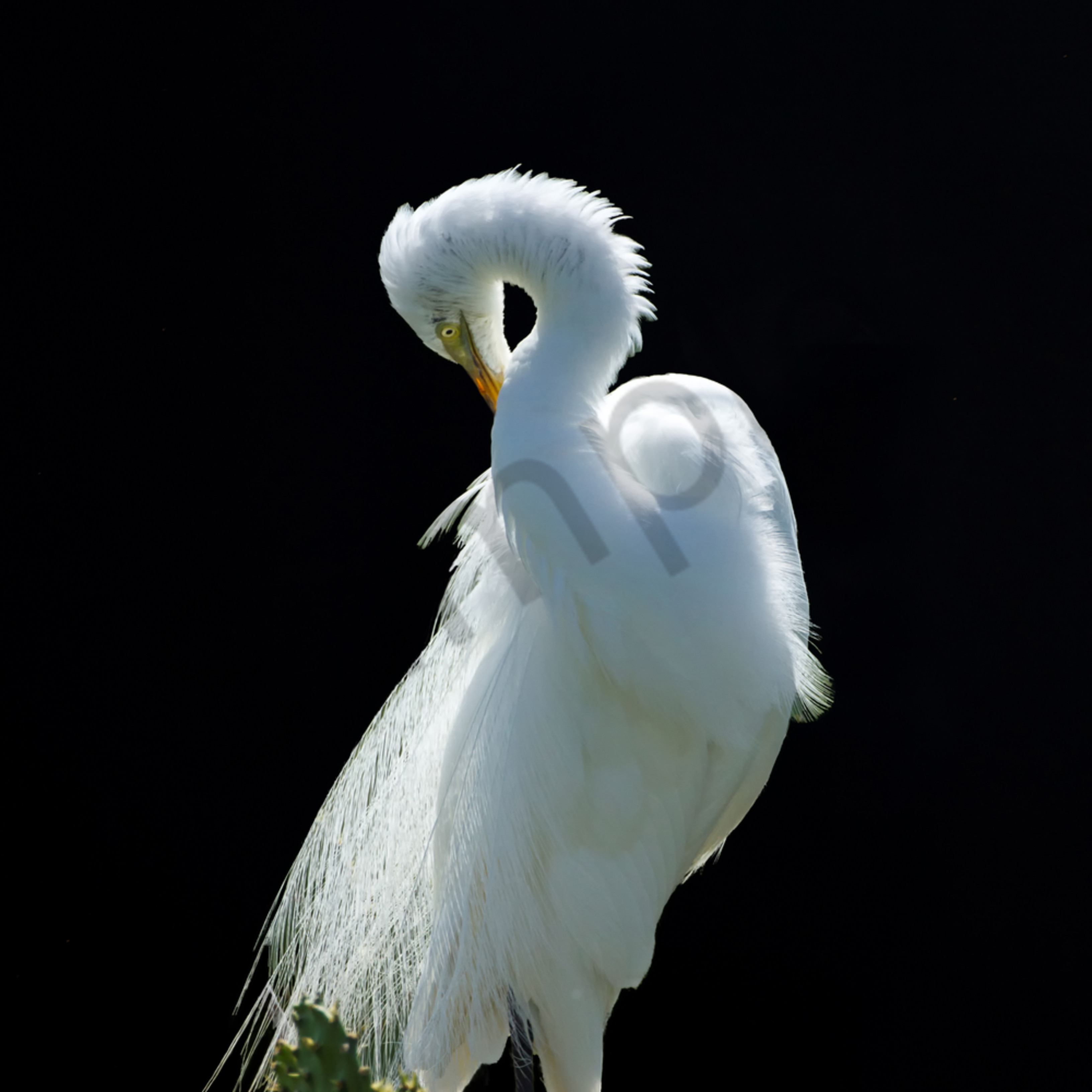 Moonlit egret 4.21.13 g9yrp1