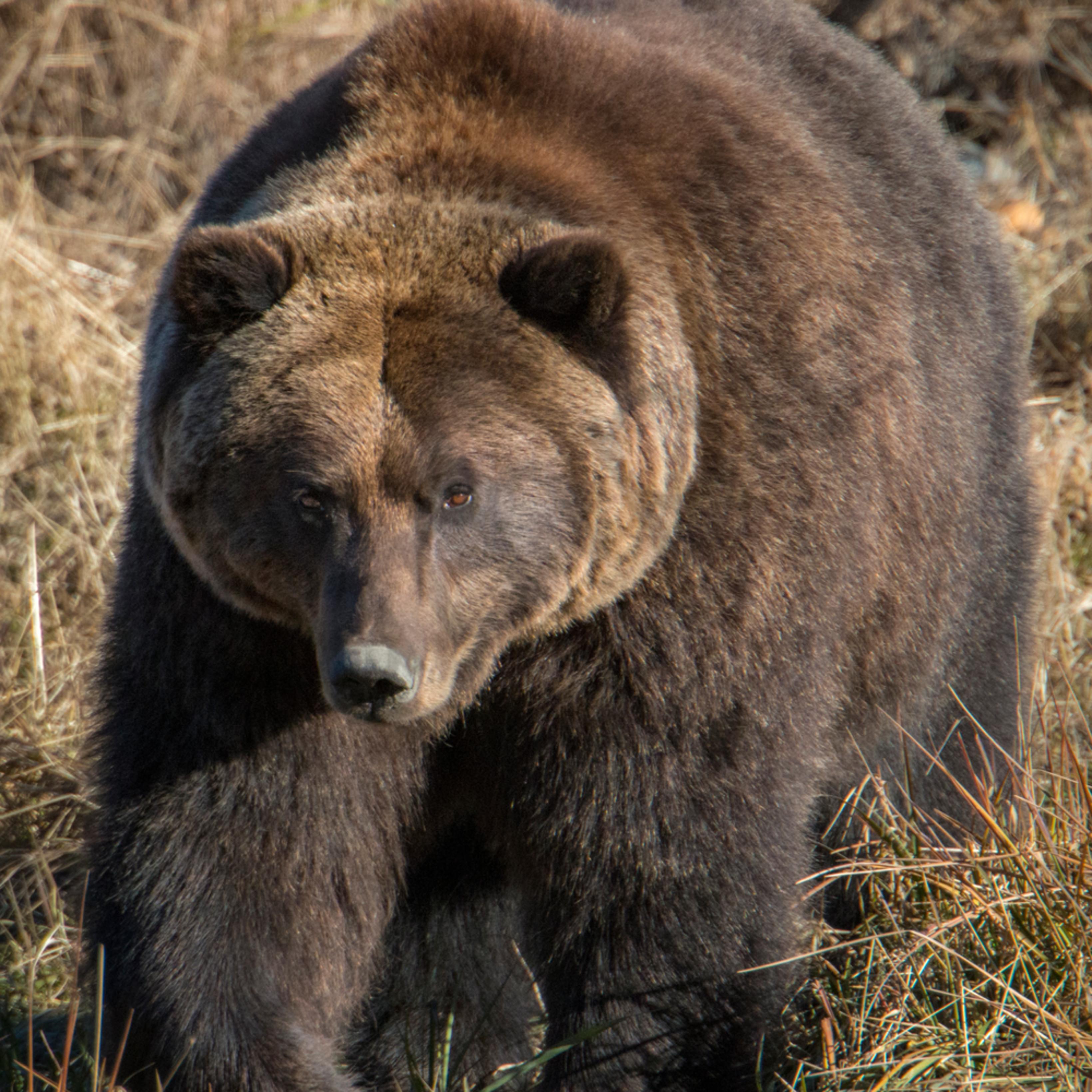 Brown bear alas xh5n6a