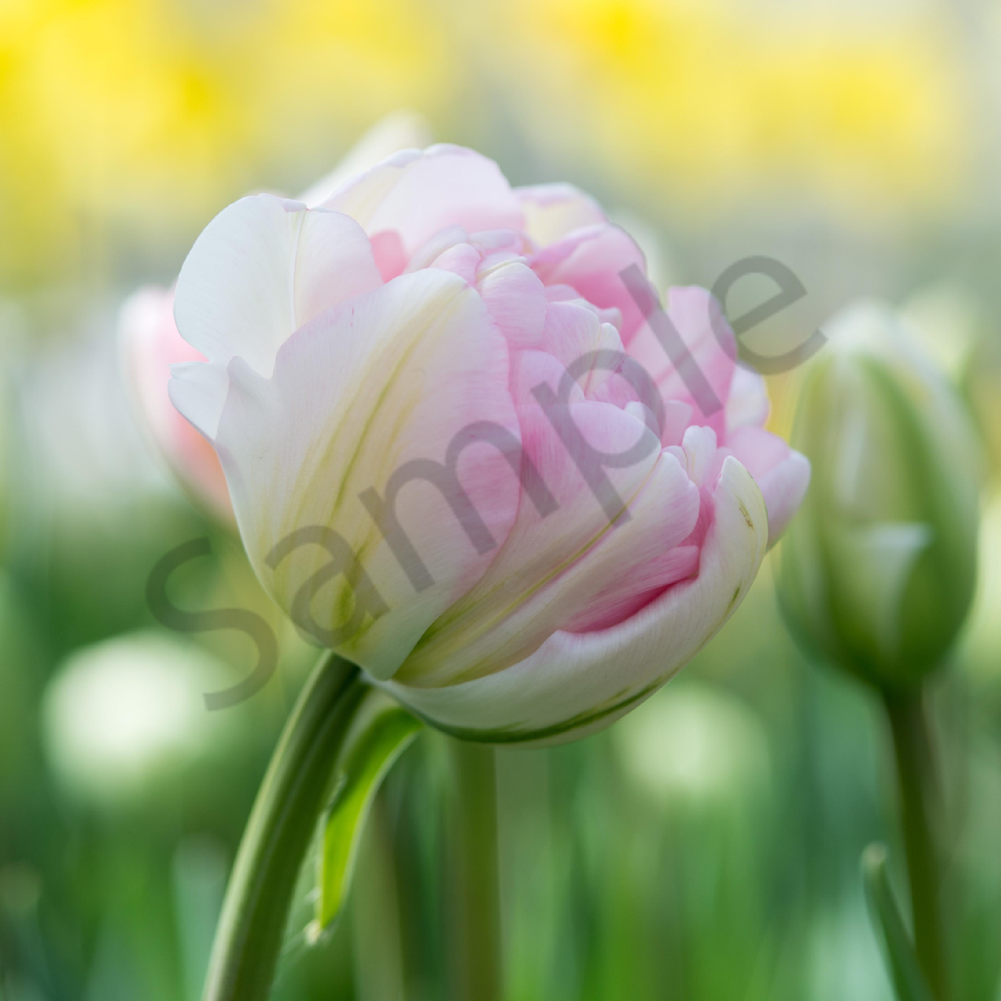 Tulips 2 mi61ze