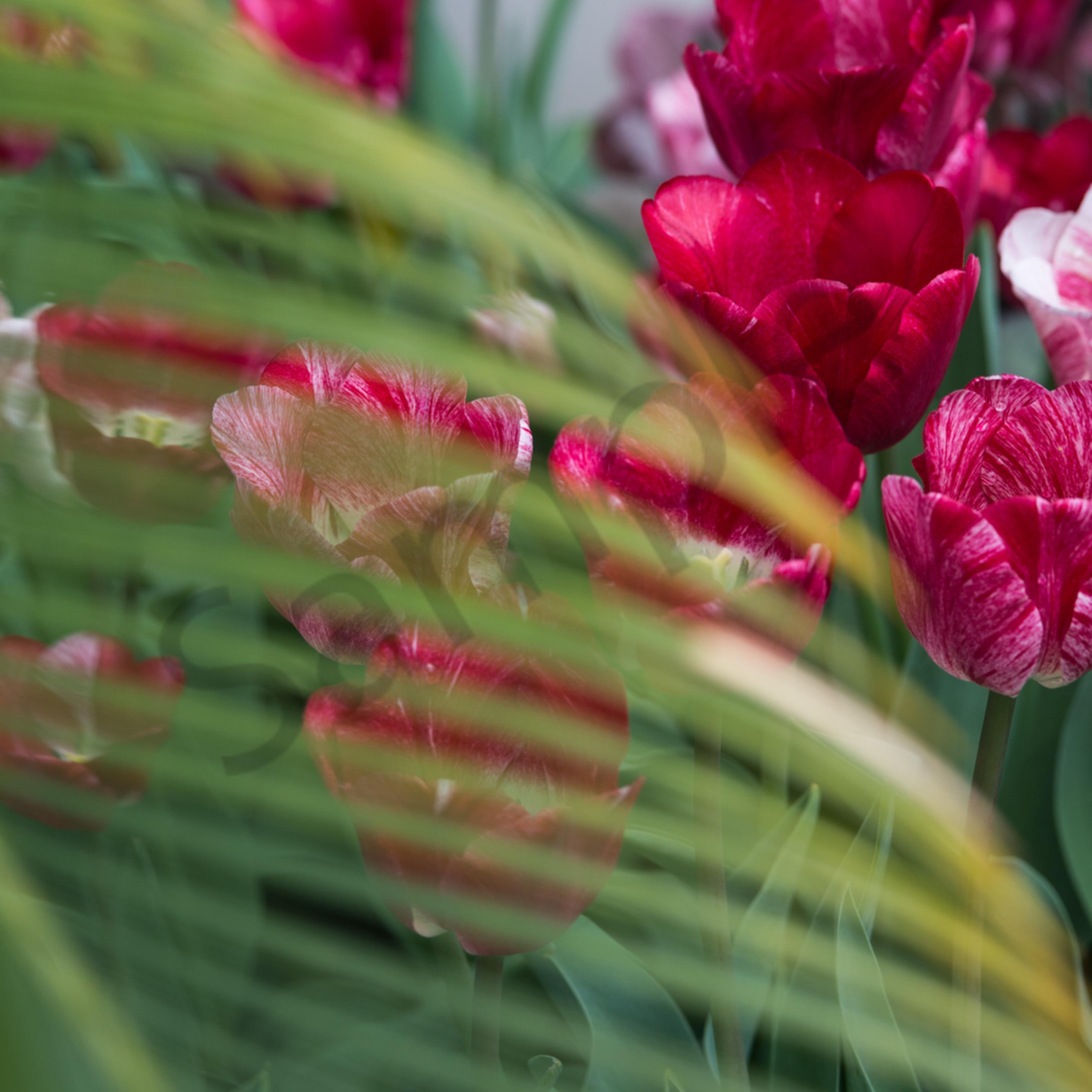 Tulips 6 phmqy5