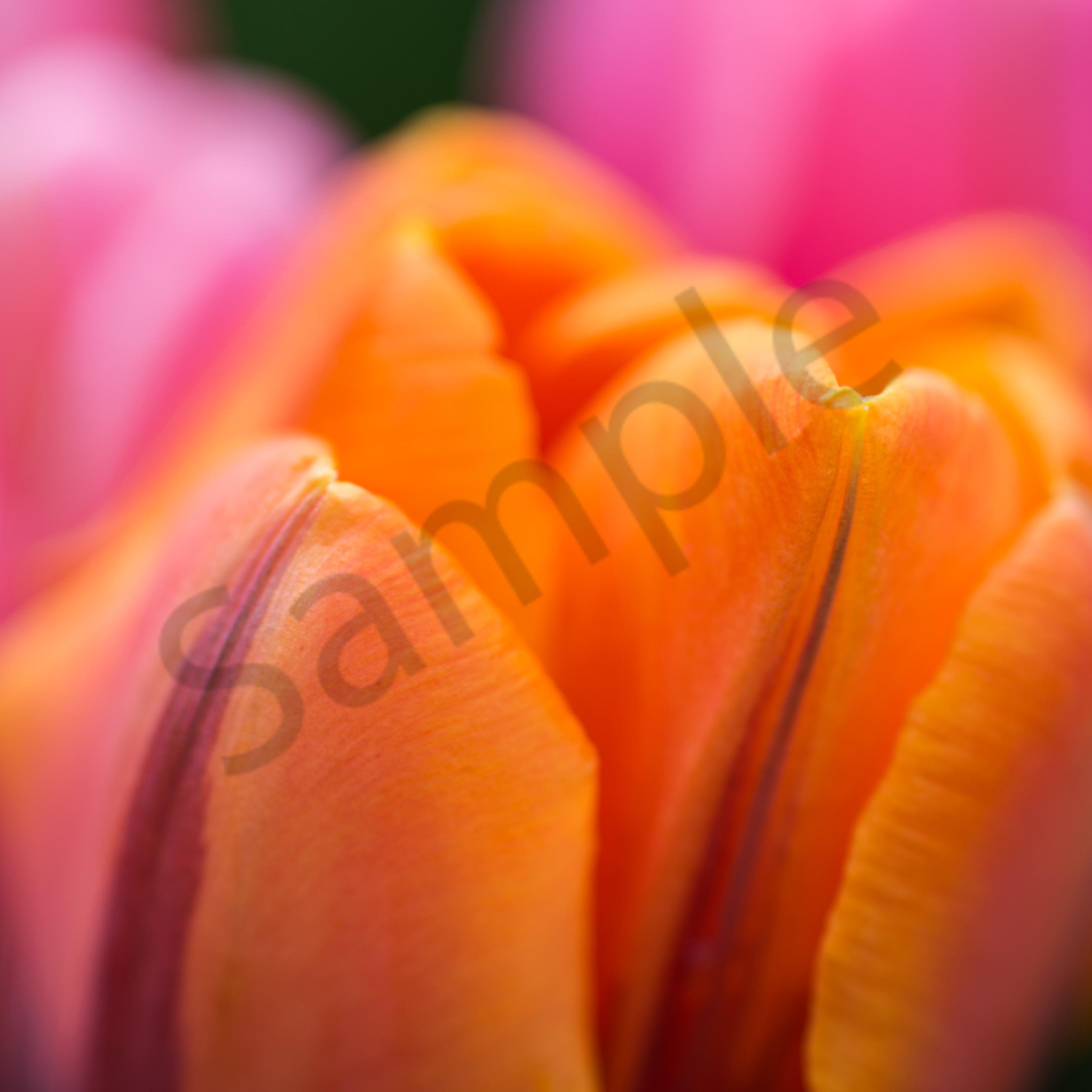 Tulips 1 ii8r8s