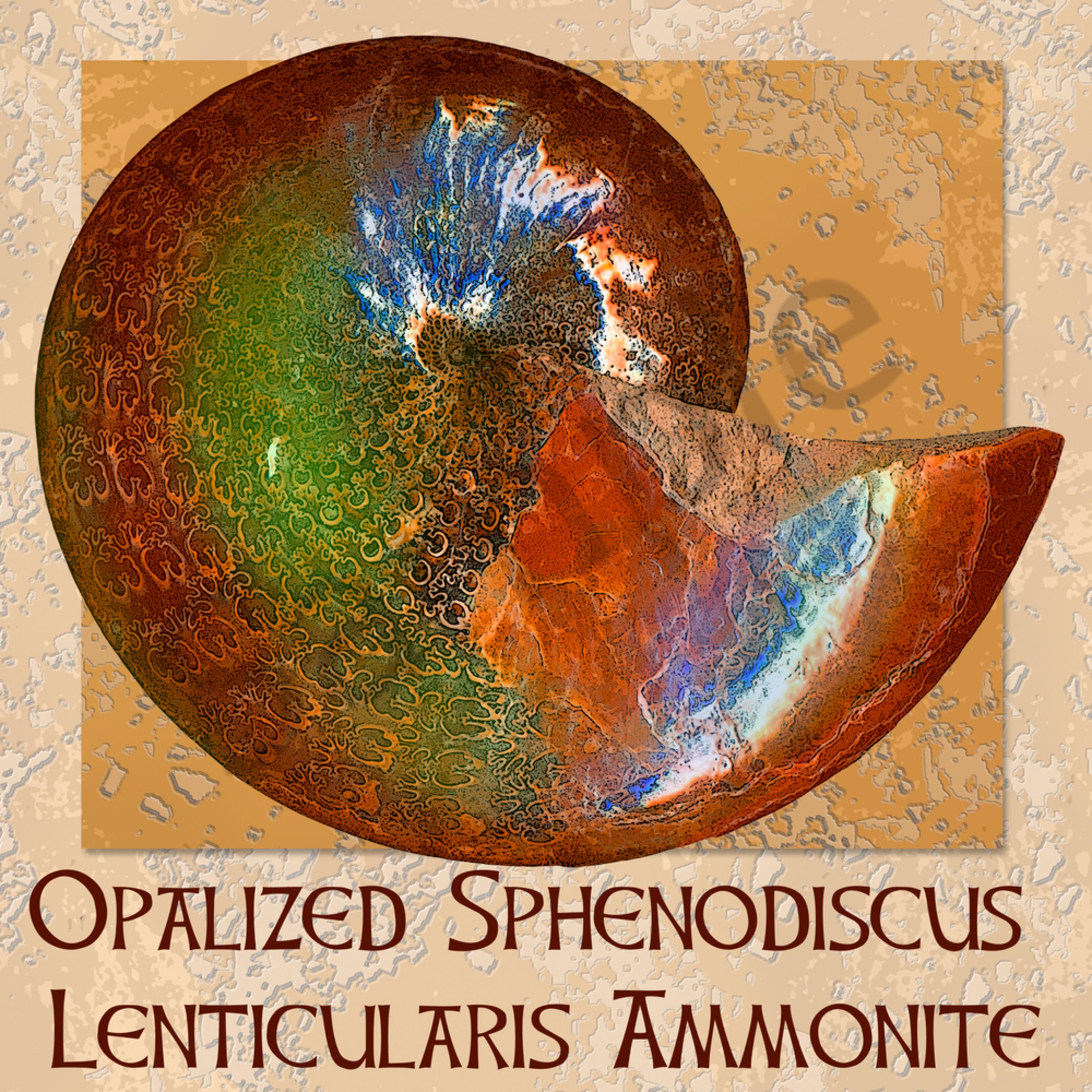 Opalized sphenodiscus lenticularis qmwsku