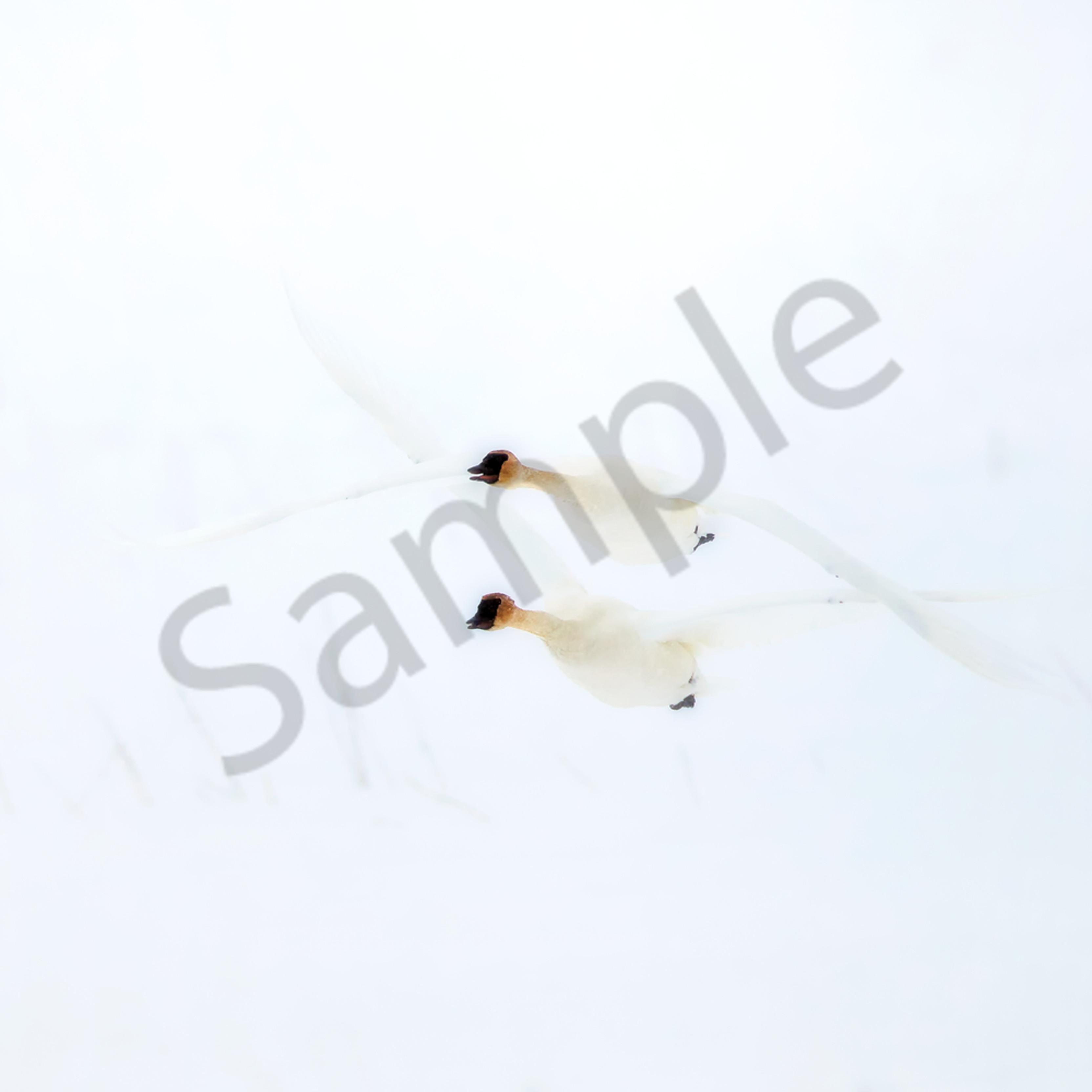 Trumpeterswansflying11 ml9jra