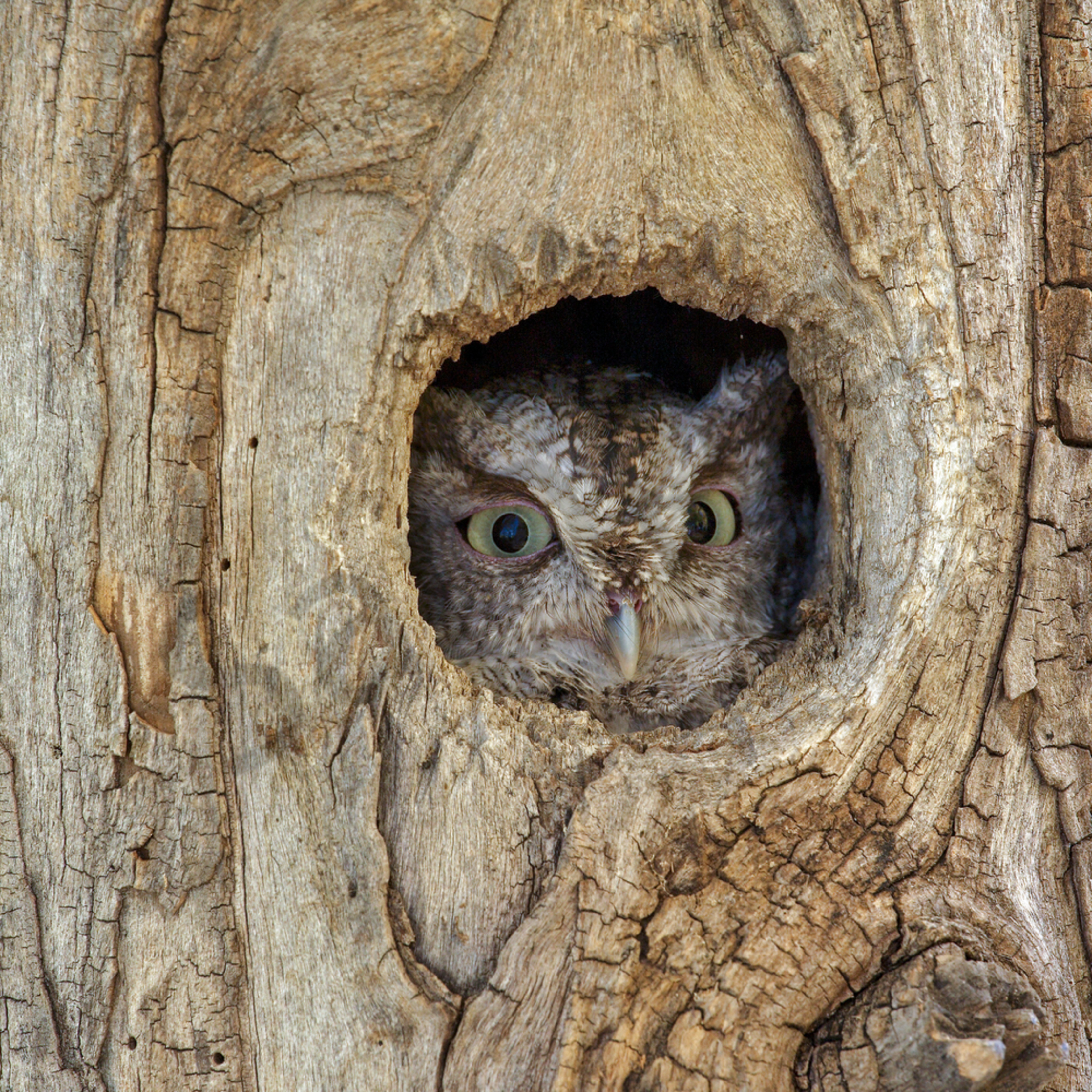 EASTERN SCREECH OWL LANDSCAPE WALL ART CANVAS PRINT PICTURE VARIETY OF SIZES