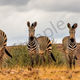 5 zebras row h9zpe2