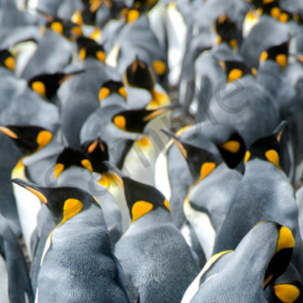 King penguin pano ywpvig