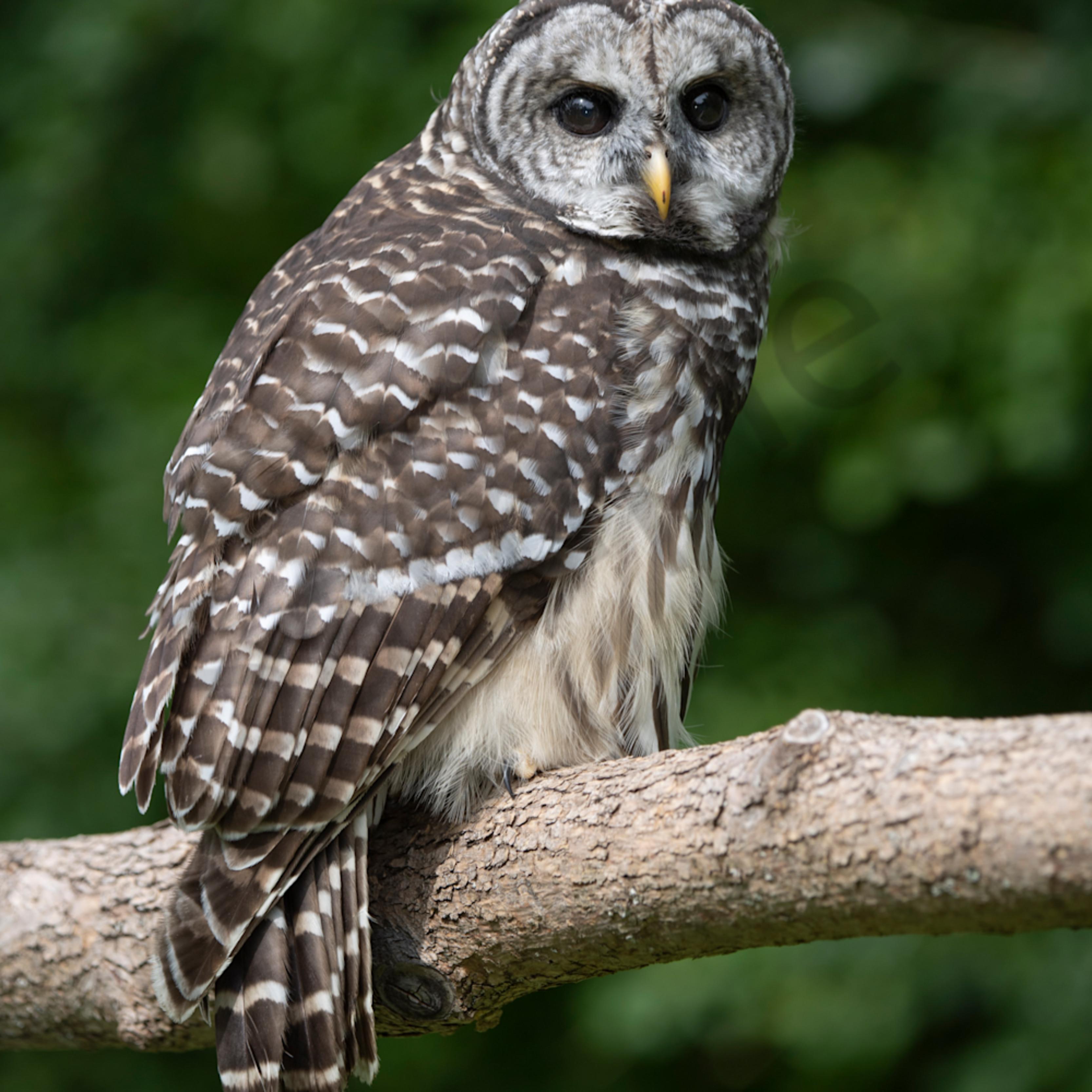 Barred owl peek al8rvk