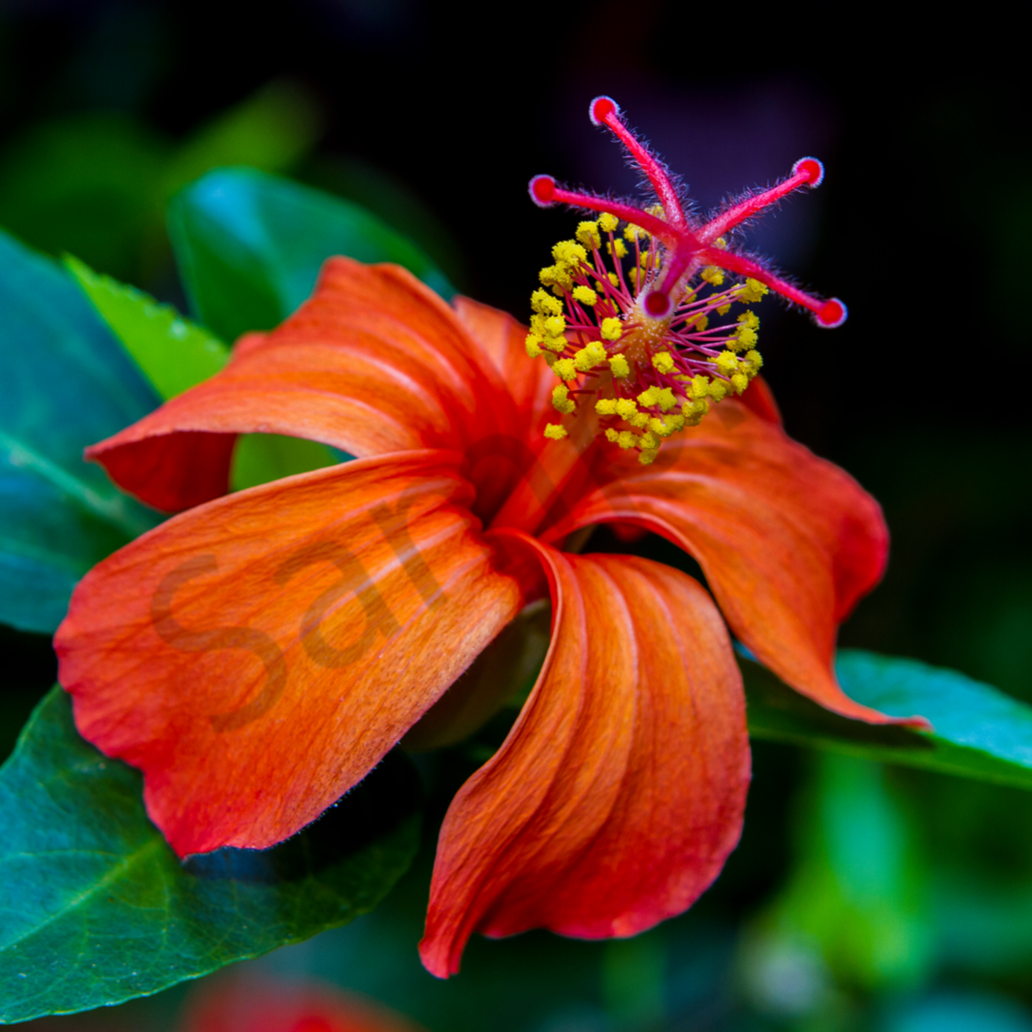 Orange hibiscus 2 ww002 vnymqi