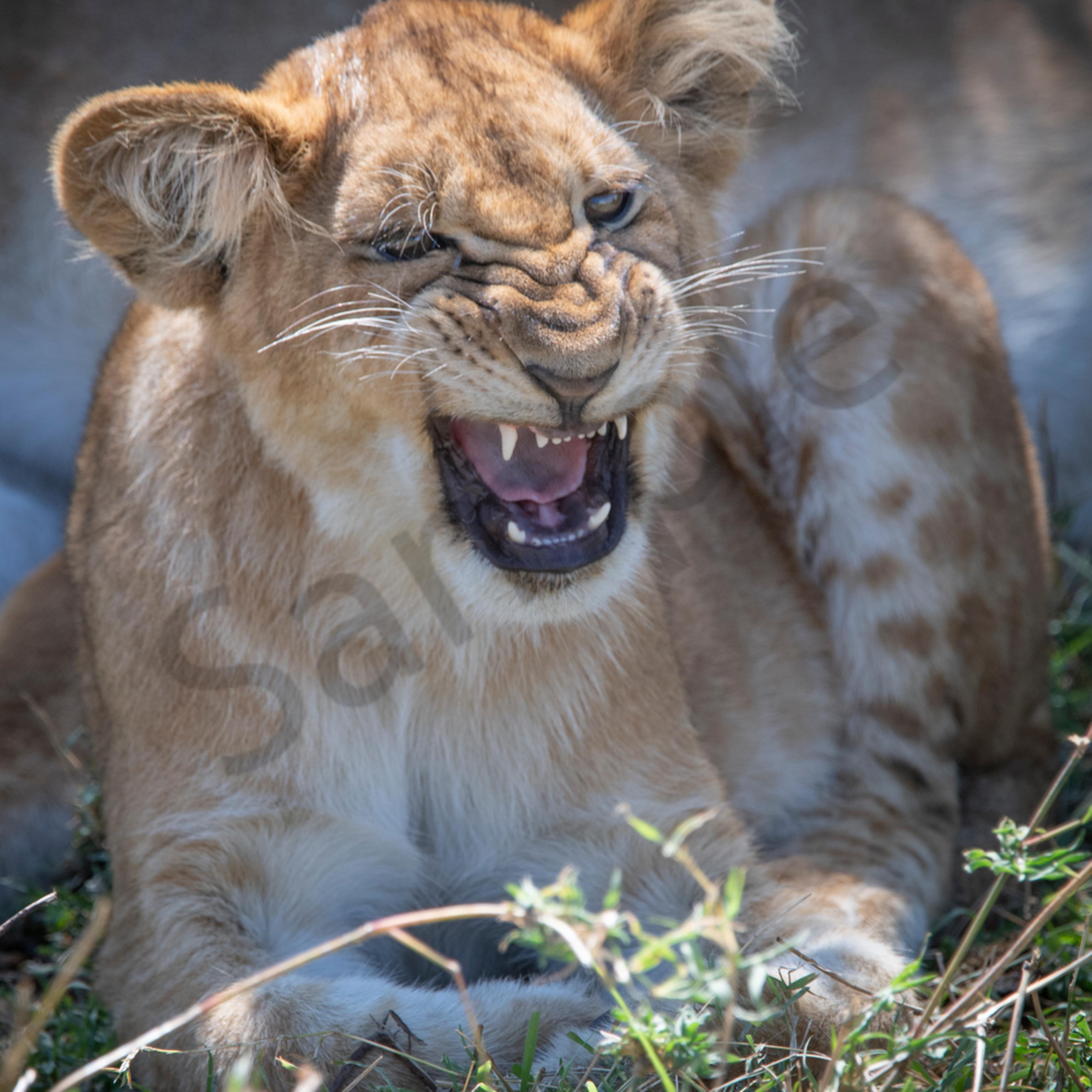 Jps lion cub roar1 lvwt1s