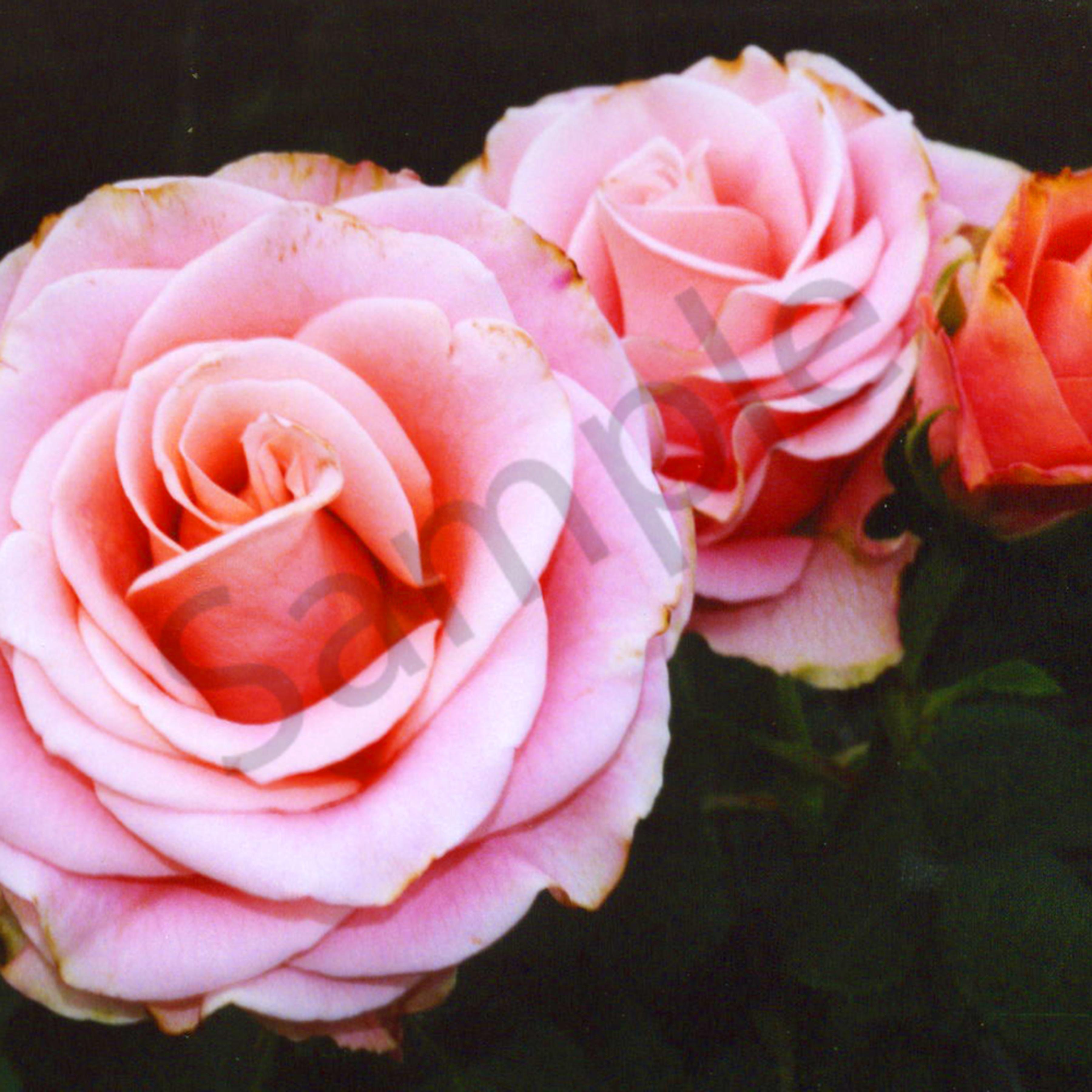 Pink roses website weoitw