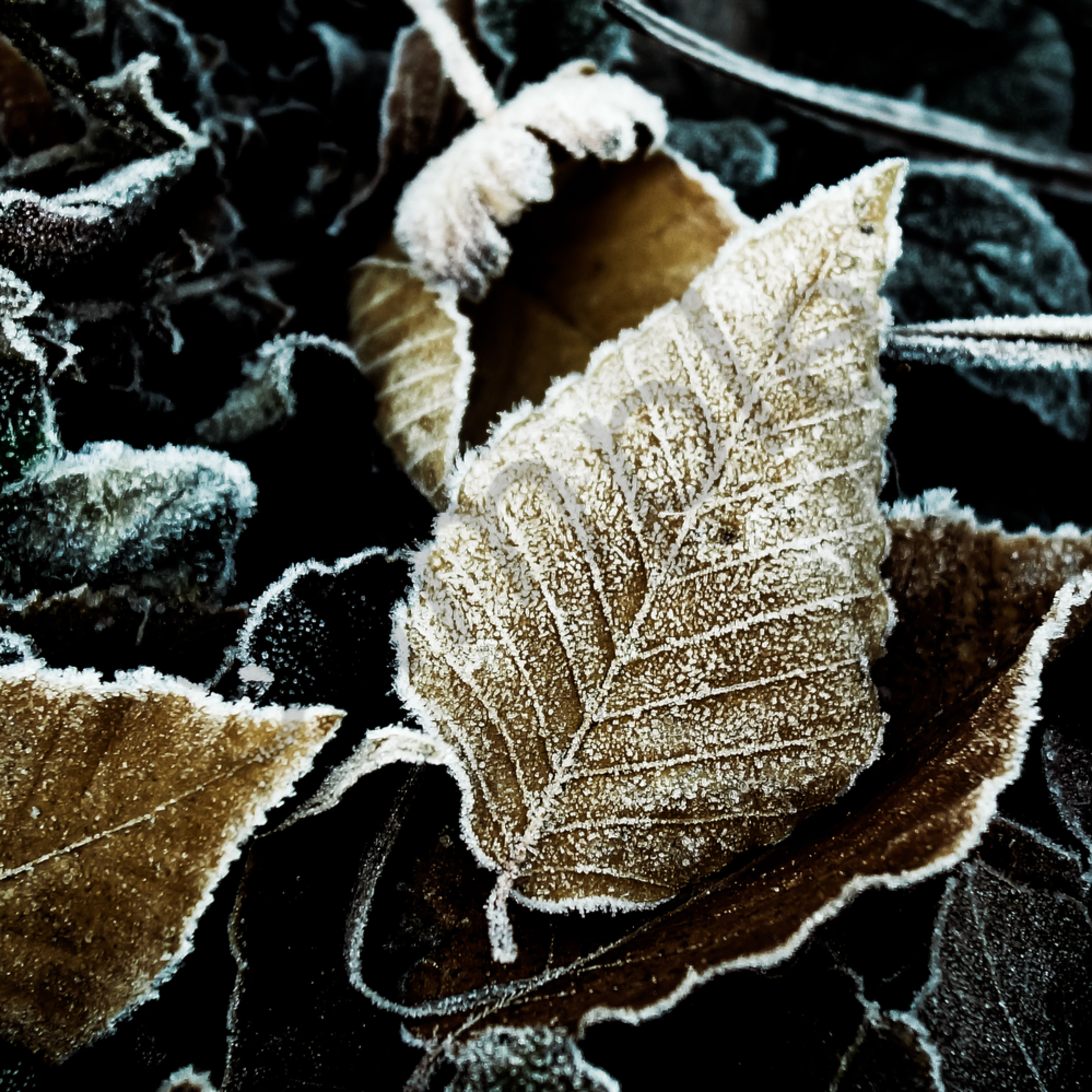 Frosted beech leaves ndmuyk