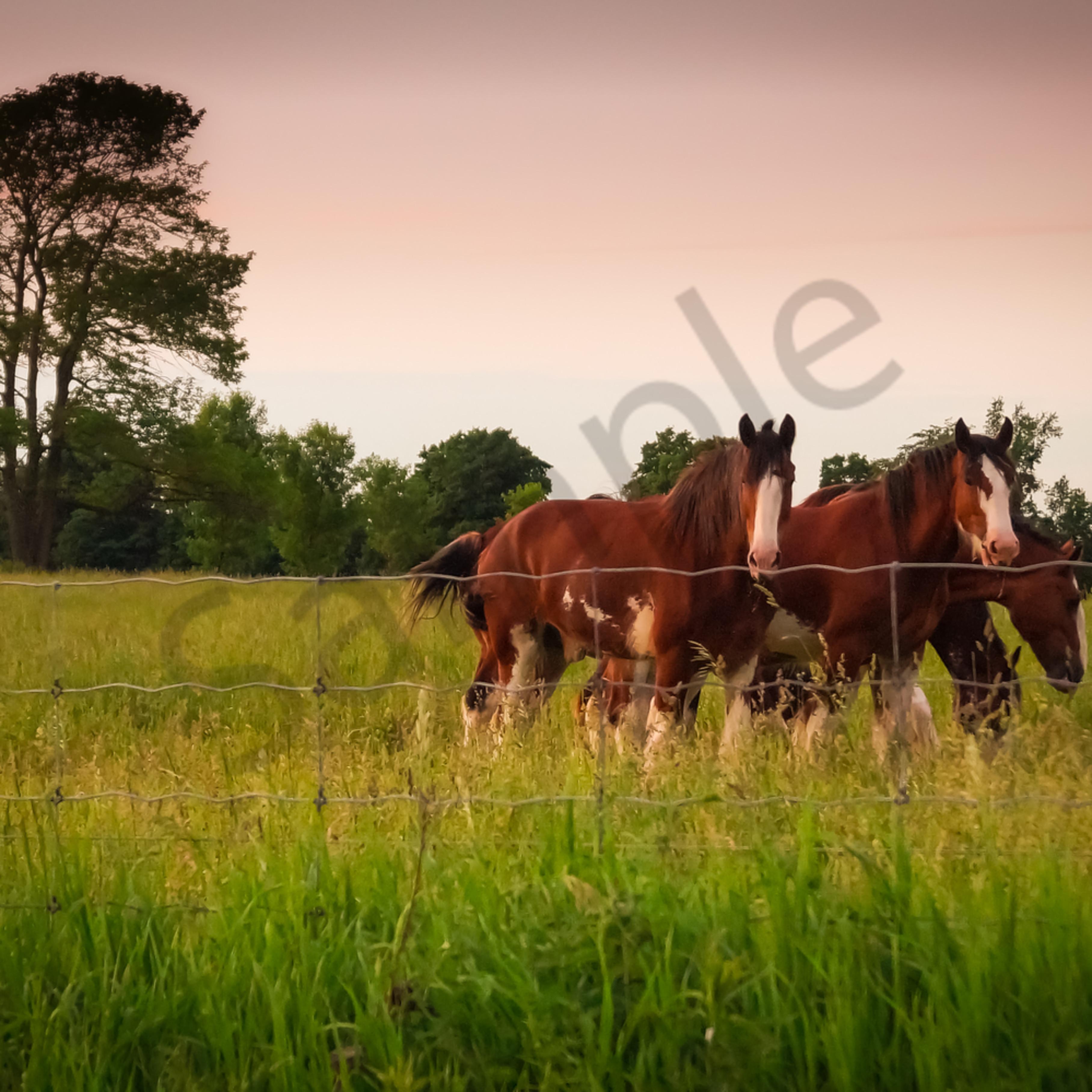 Horses at sunset fq6yxb