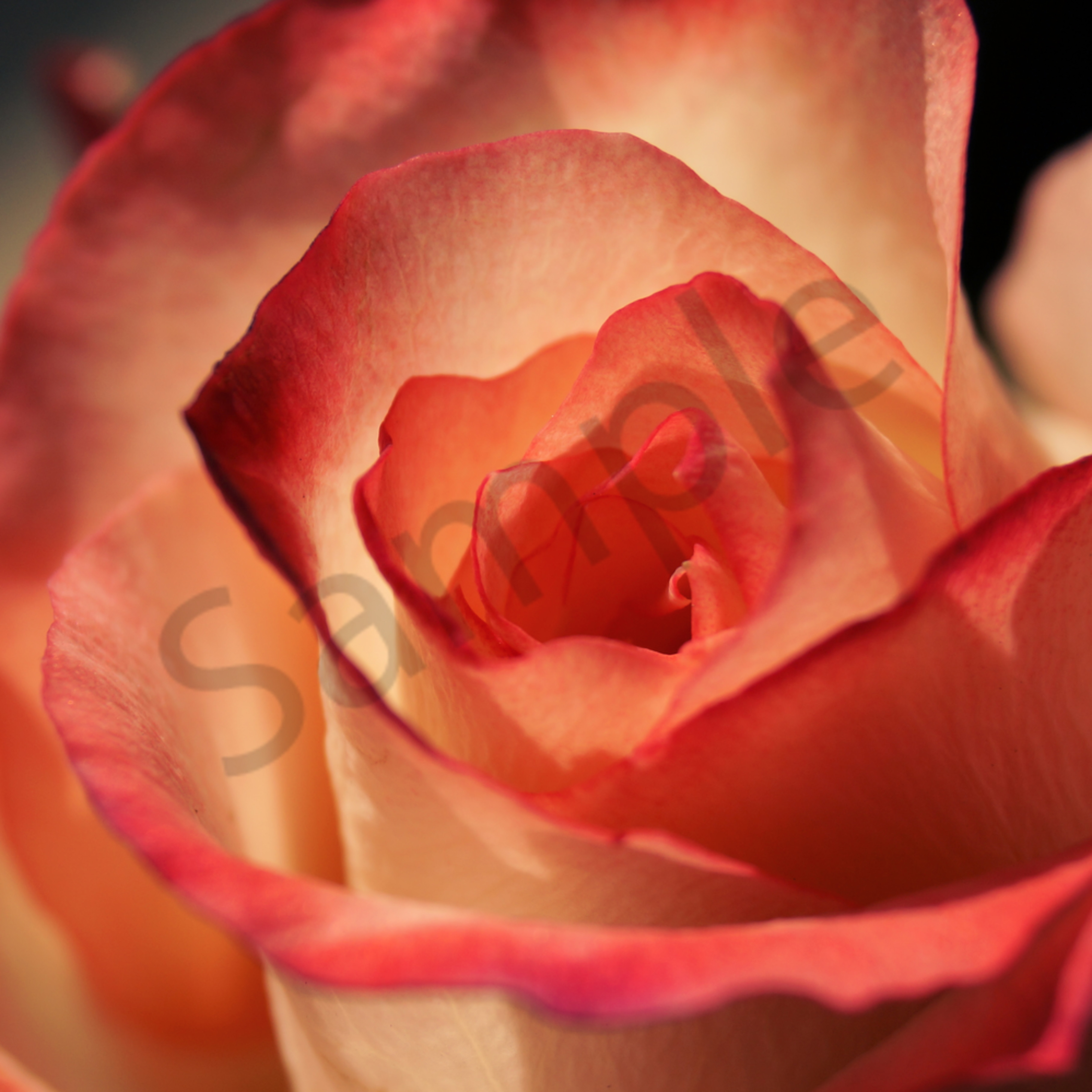 Soft rose bbahpd