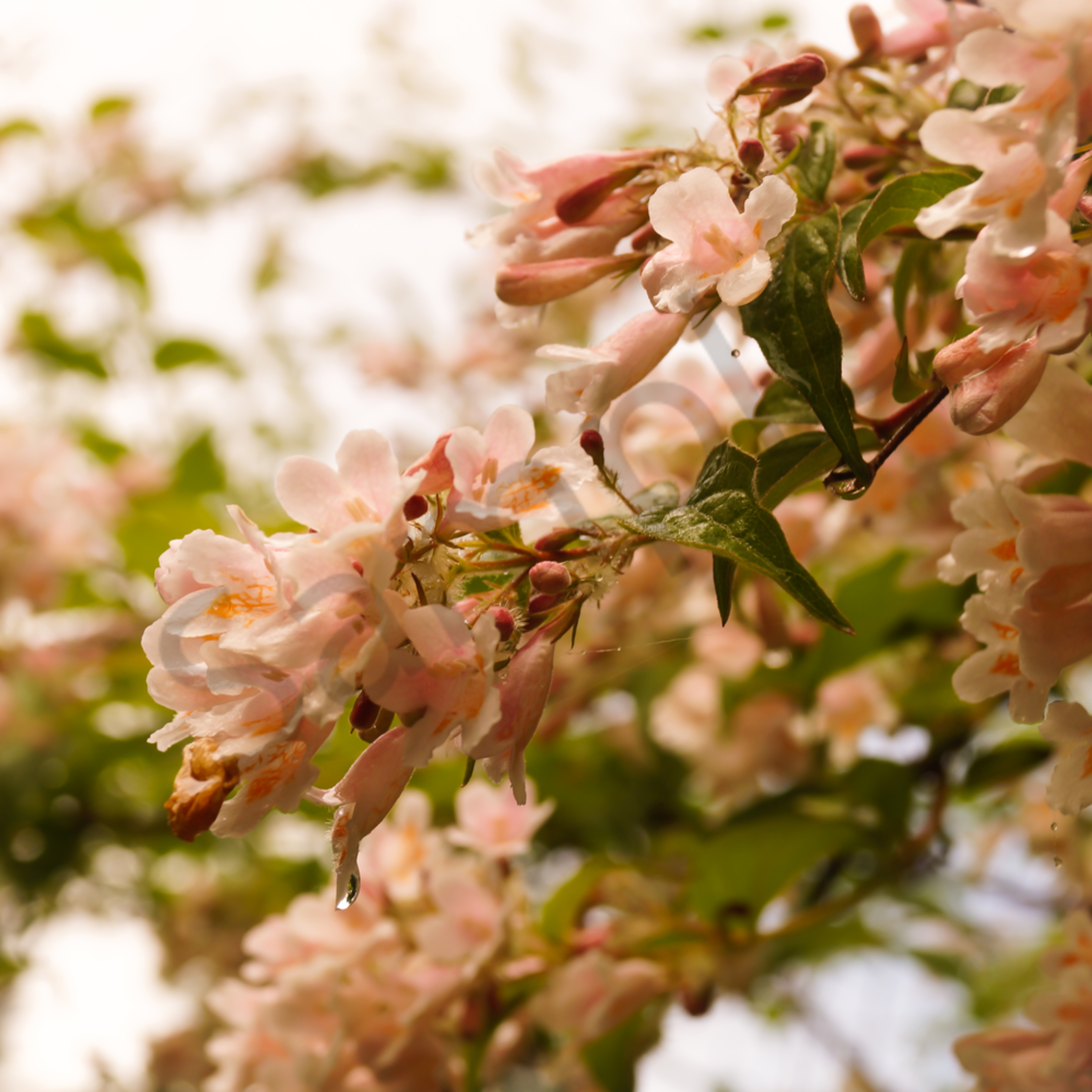 Pink abelia blossoms iiwlby