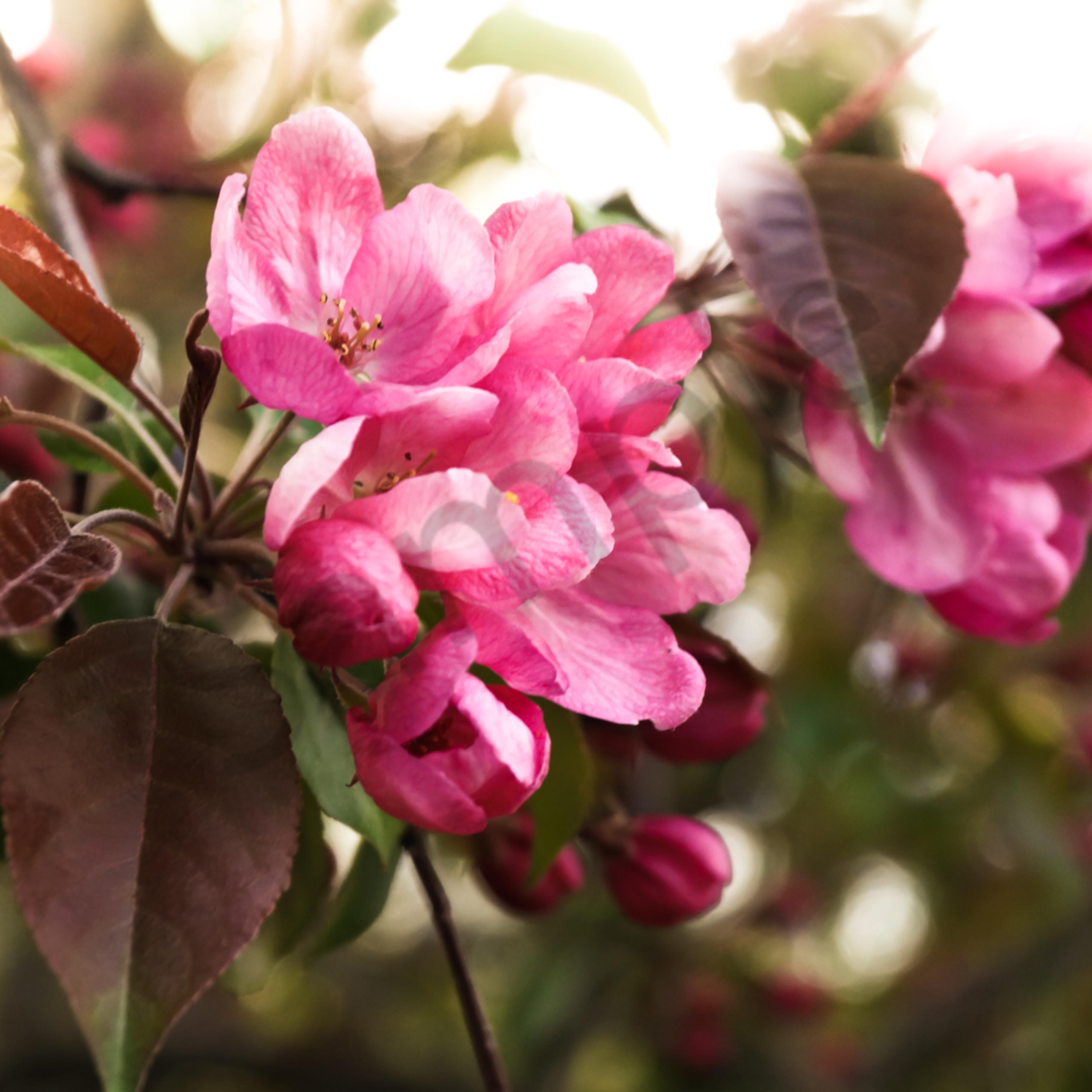 Pink cherry blossoms a8slkz